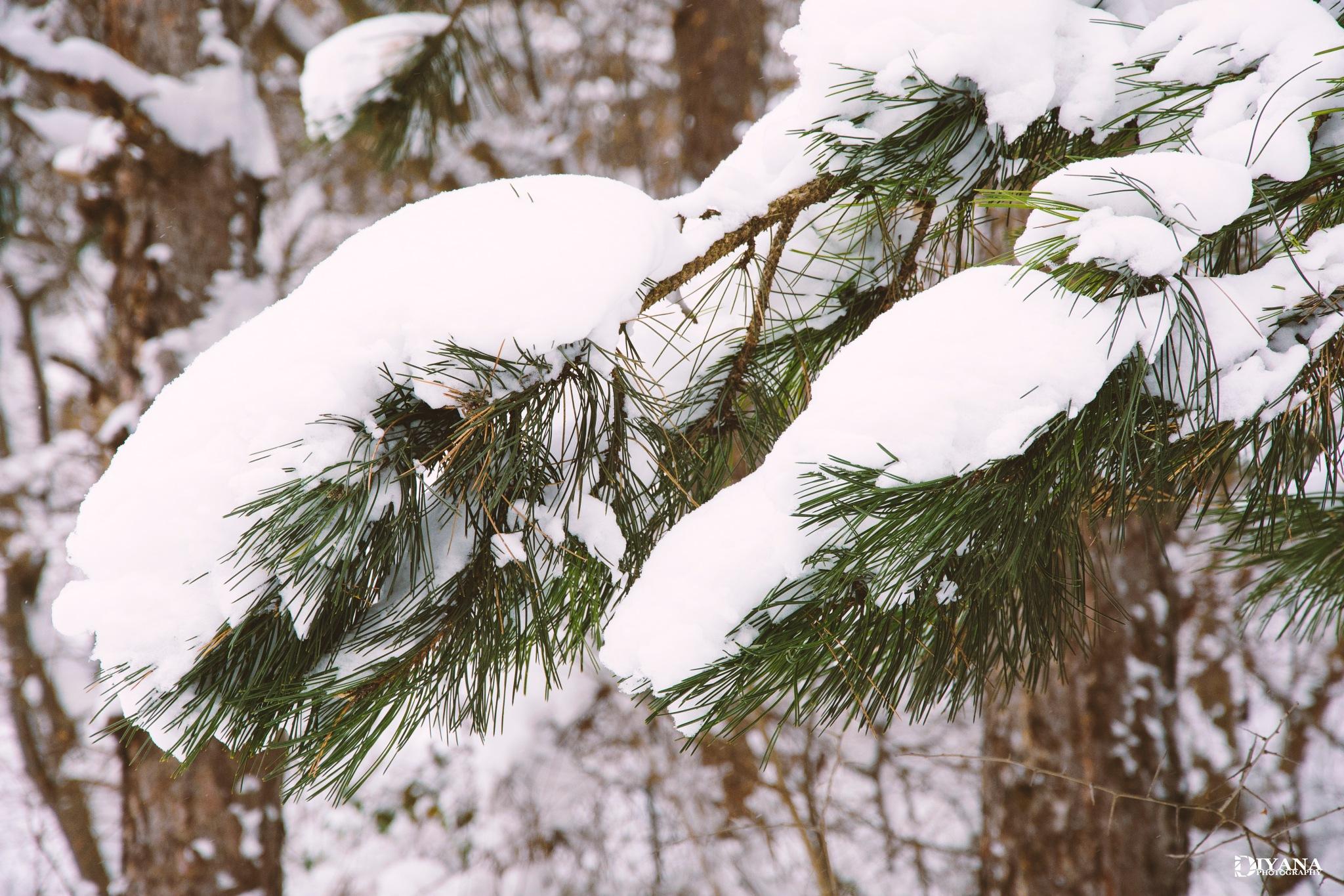 Pine needles by Diyana Ivaylova