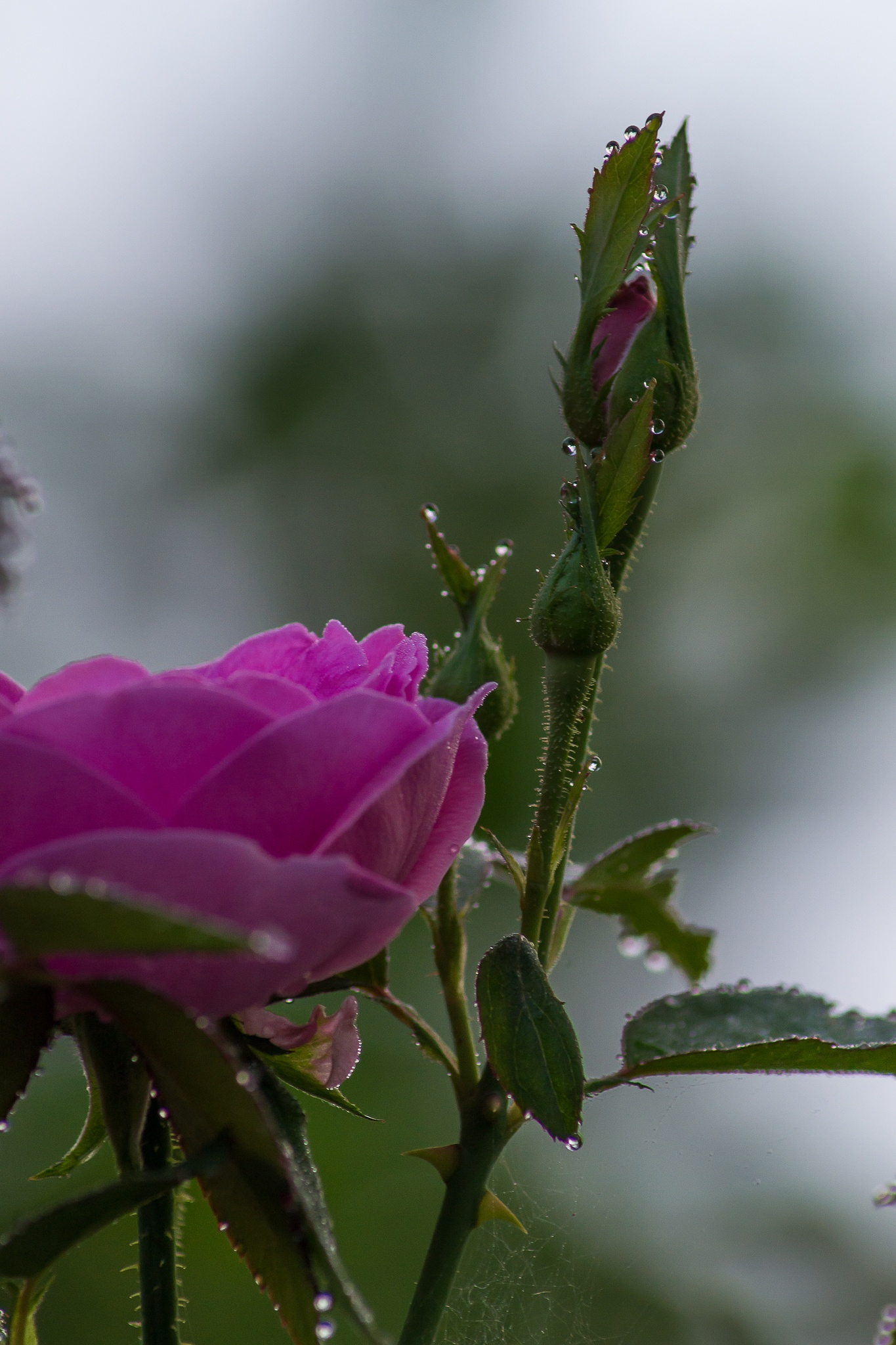 the roses by mohd kamal