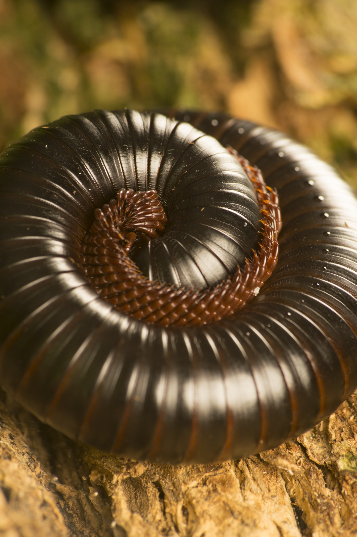 Photo in Animal #millipede #insect #macro