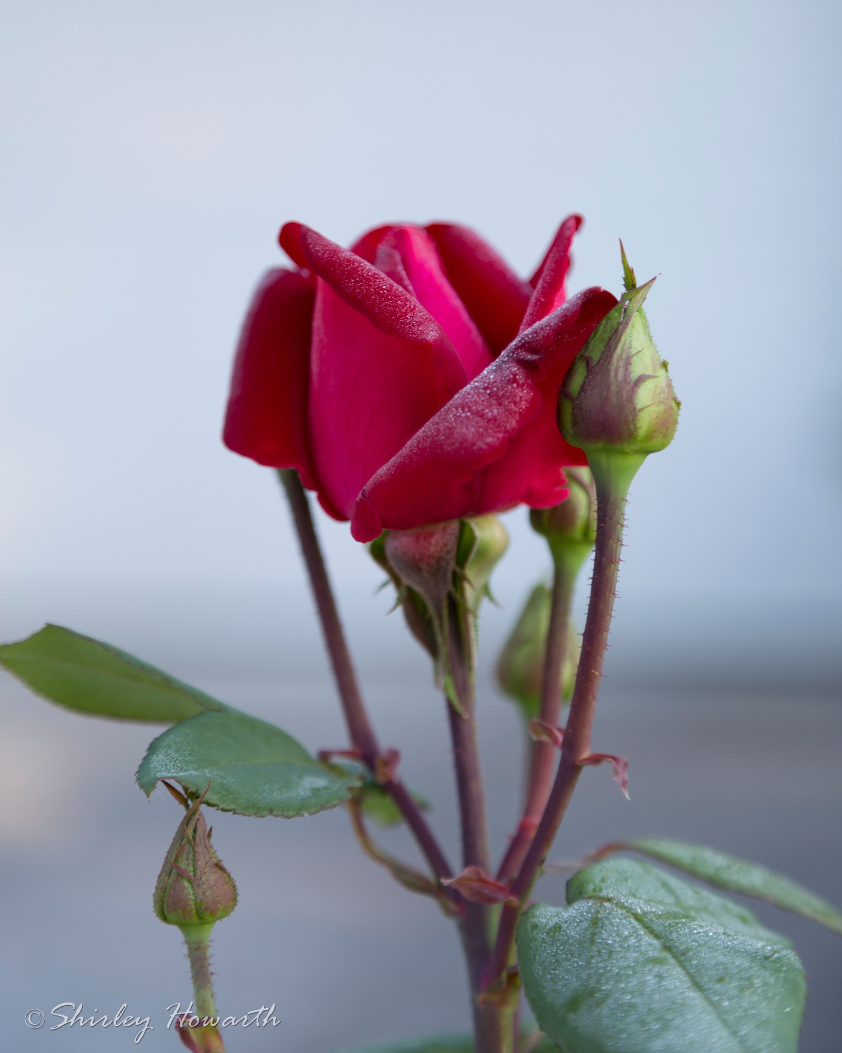 Not quite the Last Rose of Summer by Shirley Howarth