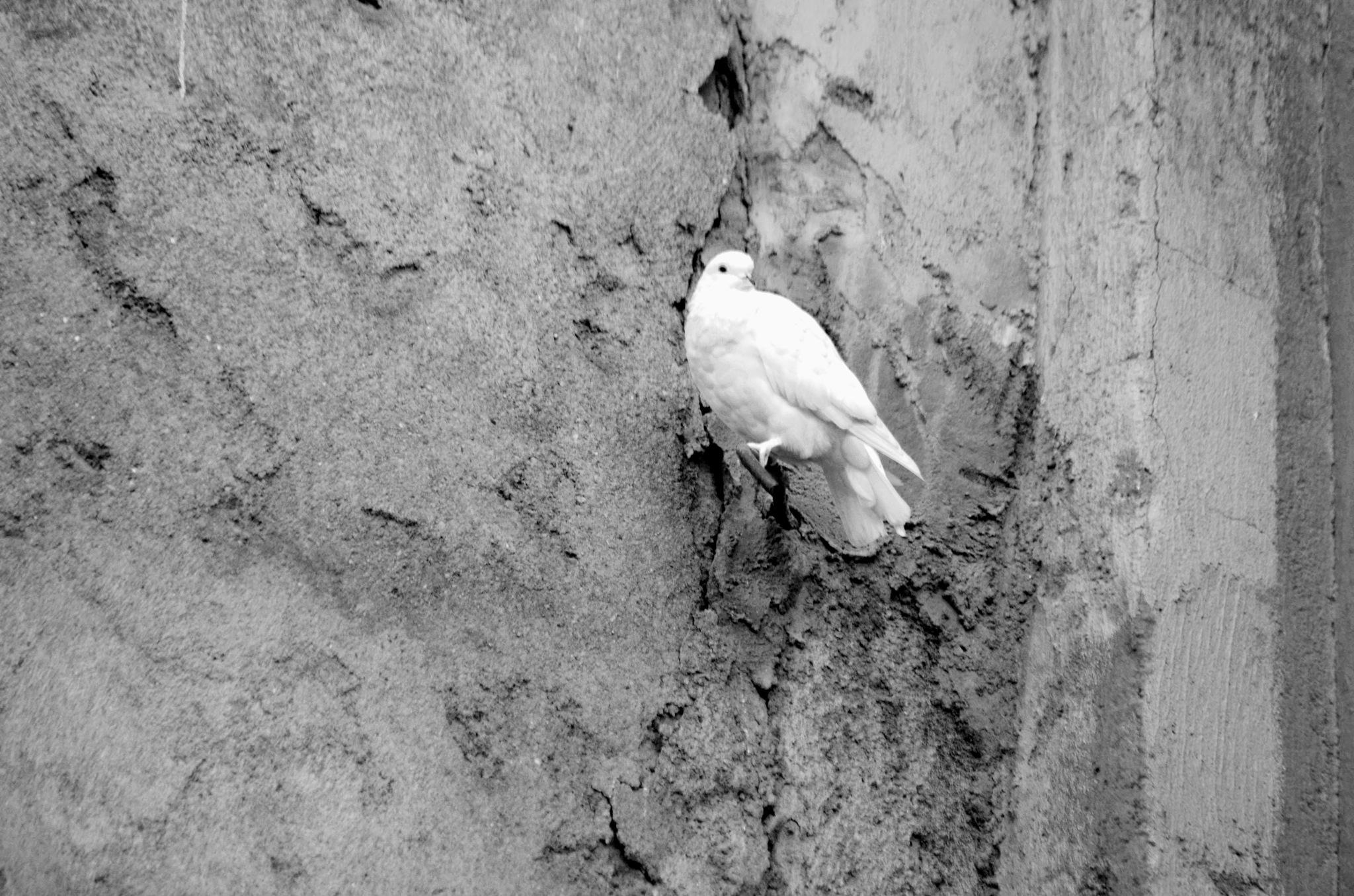 pigeon  by Sana Smaal