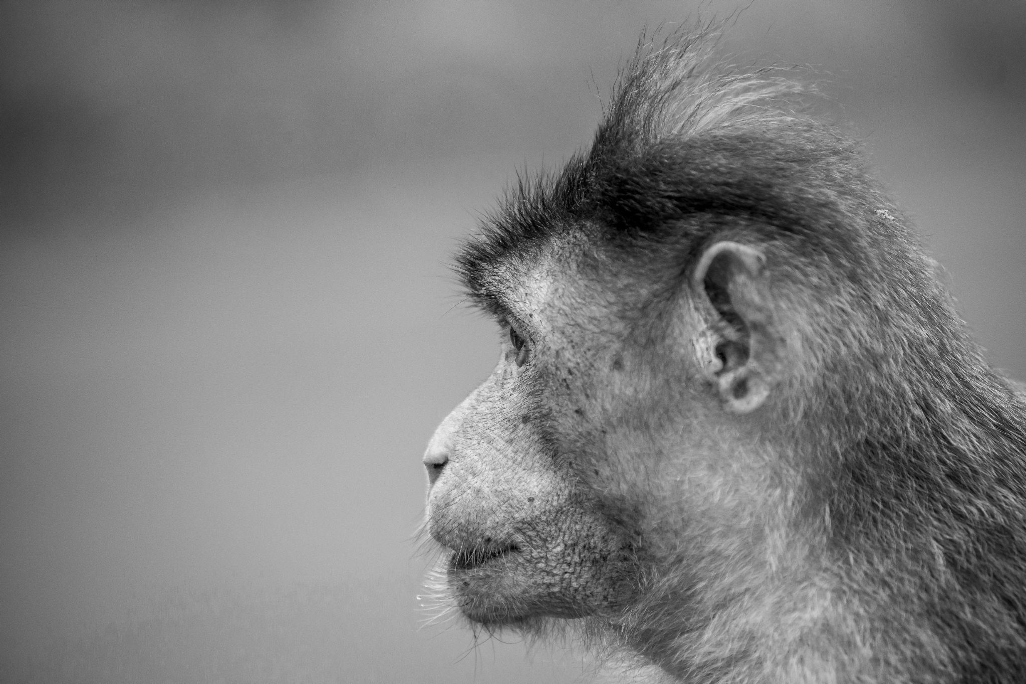 Macaque    by vinaik1