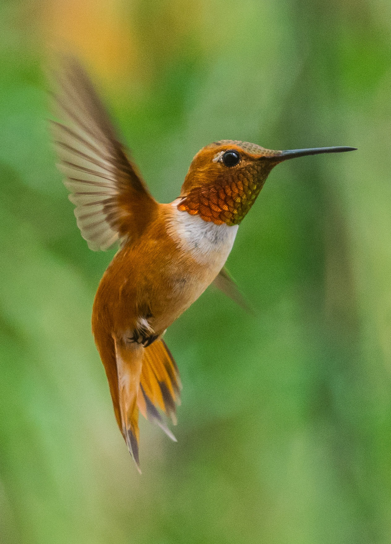 8-18 Male Rufous Hummingbird by Keith Spangle