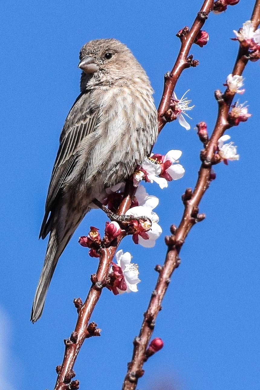 2/28/16 Female House Finch by Keith Spangle