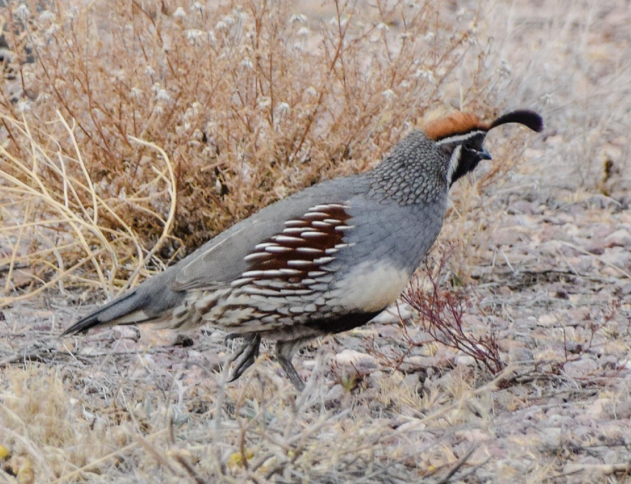 Gambel's Quail by Keith Spangle