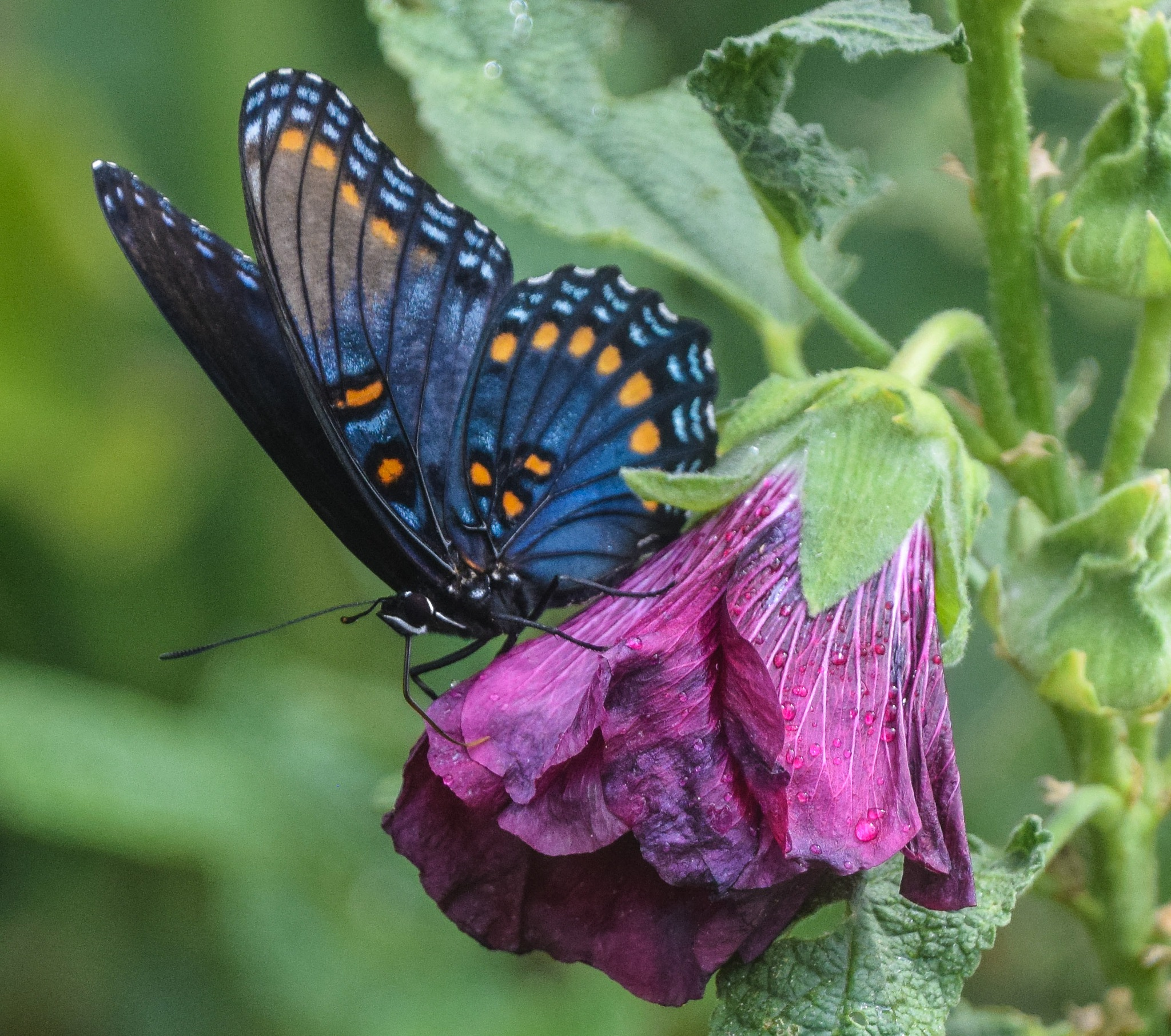 Red Spotted Purple Butterfly by Keith Spangle