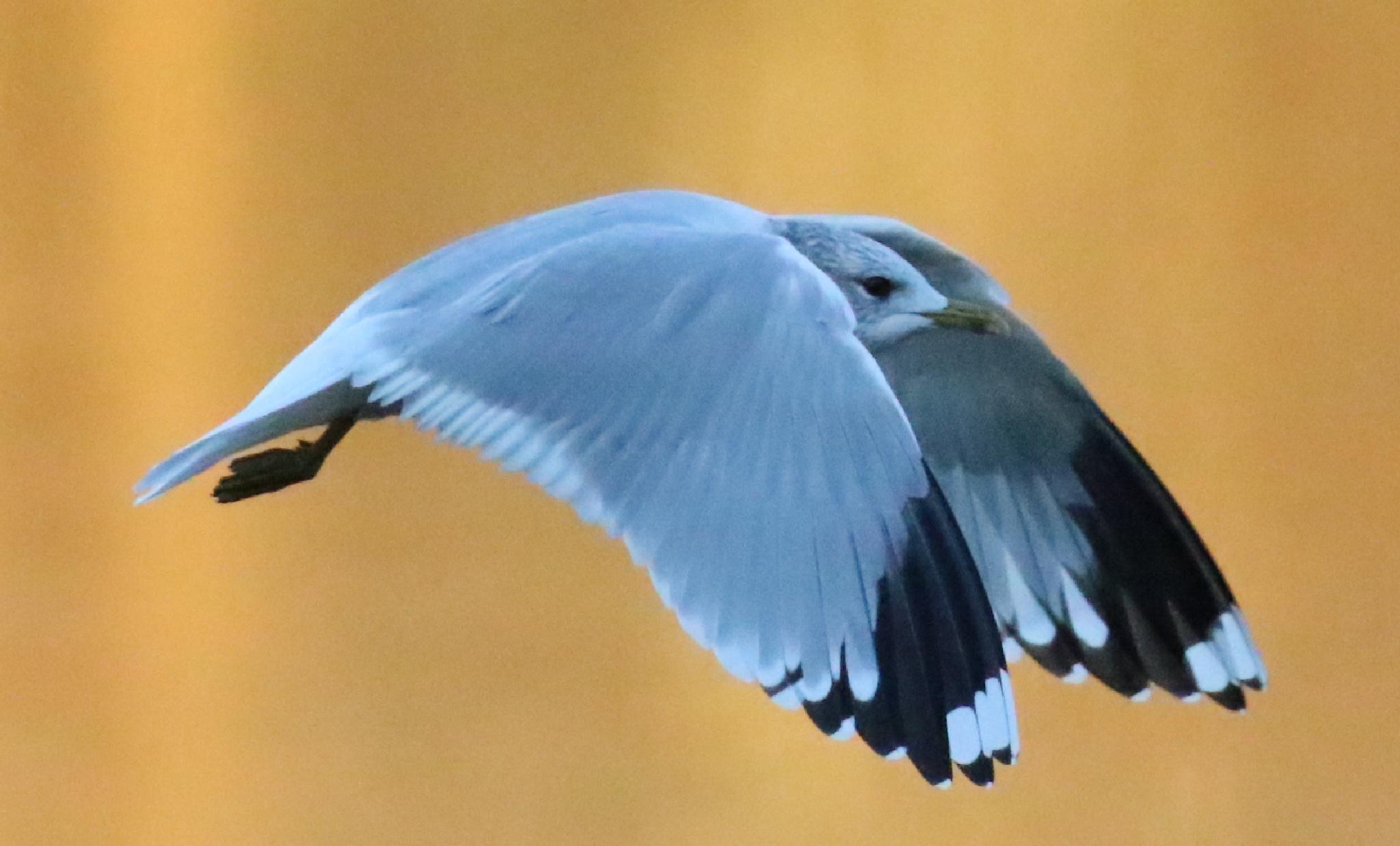Seagull flying by Atilla Gunhan Photograpy