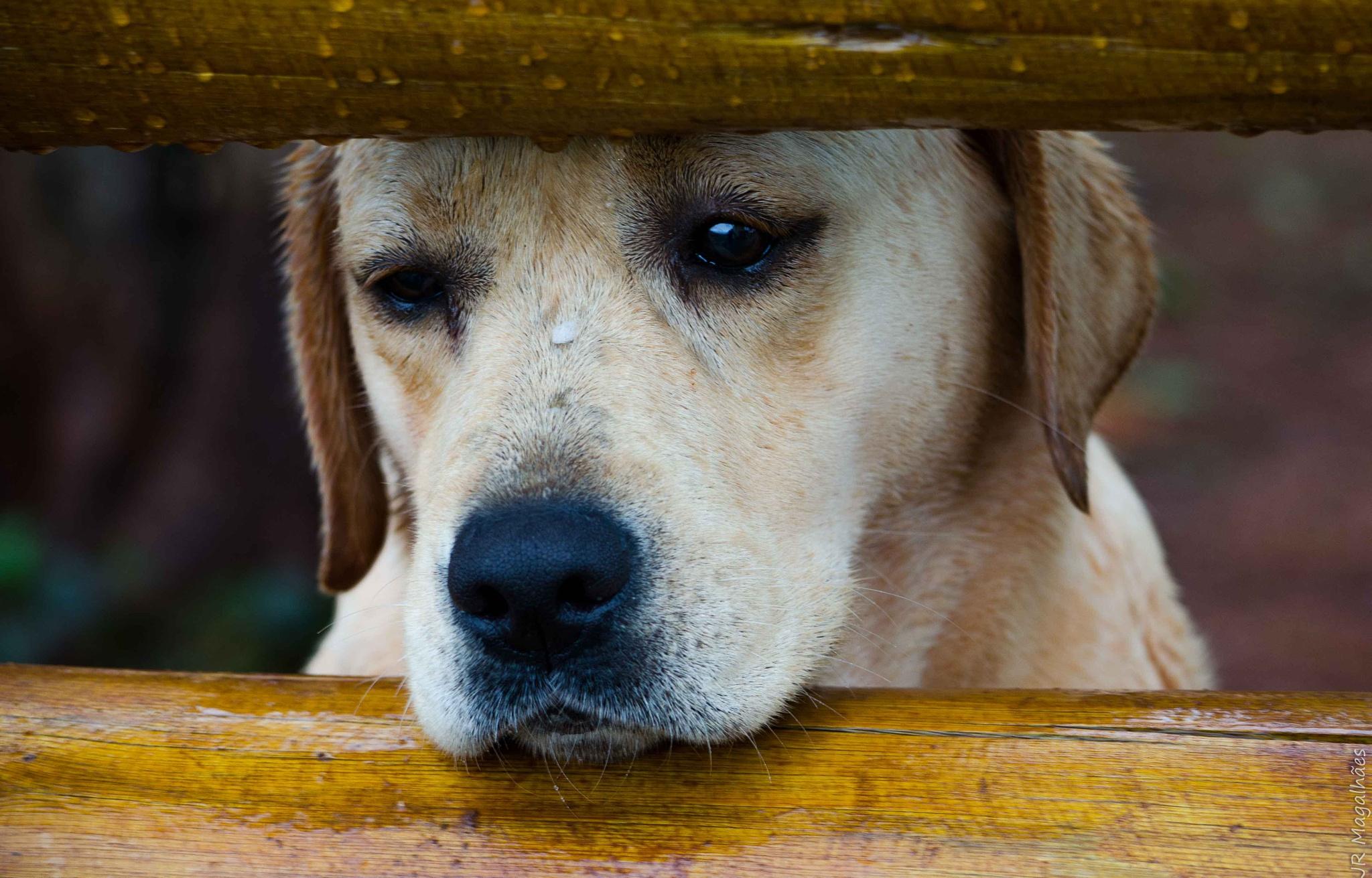 Labrador - So sad!  by Jose Roberto Magalhaes