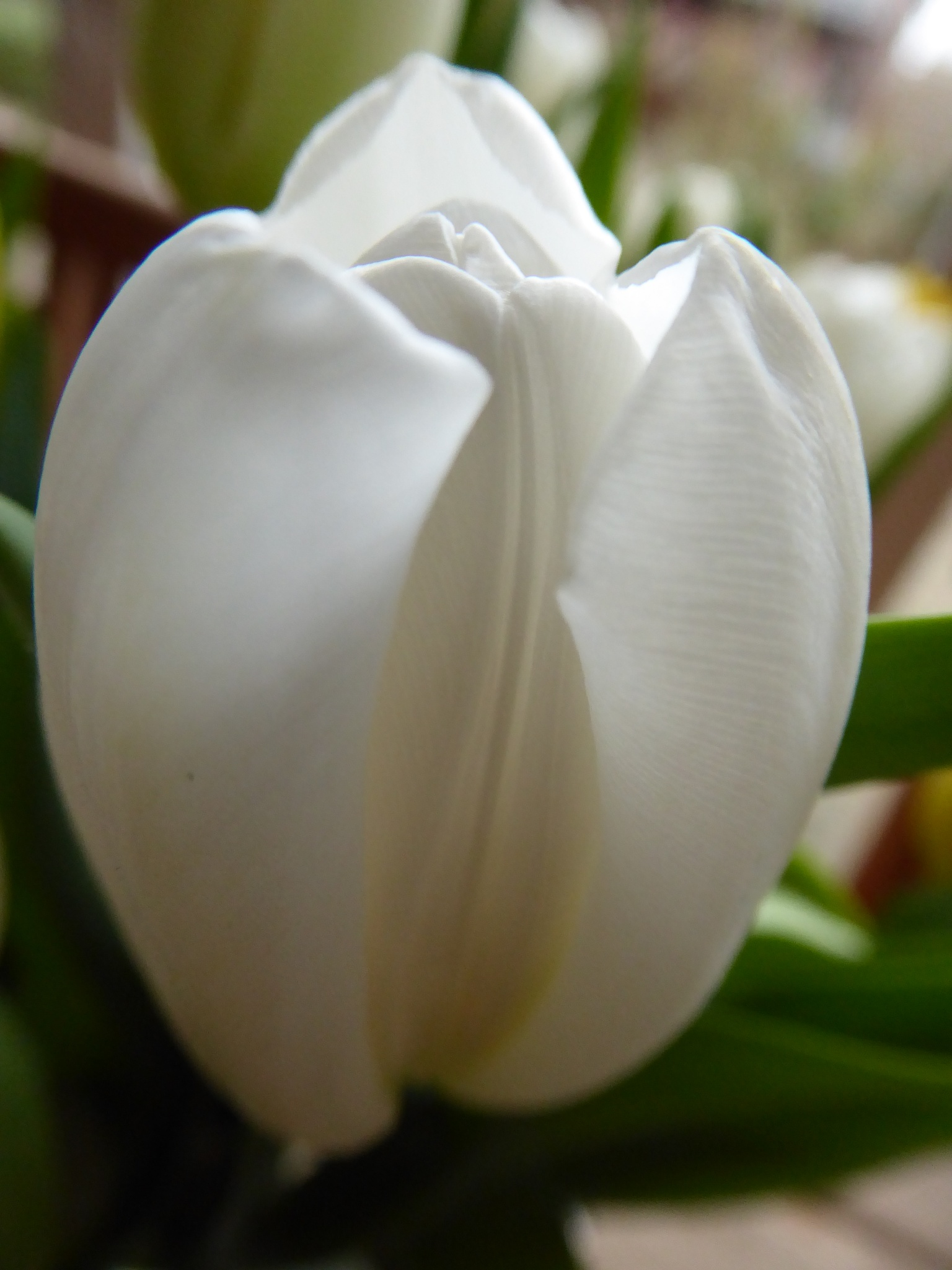 Tulip by TonC
