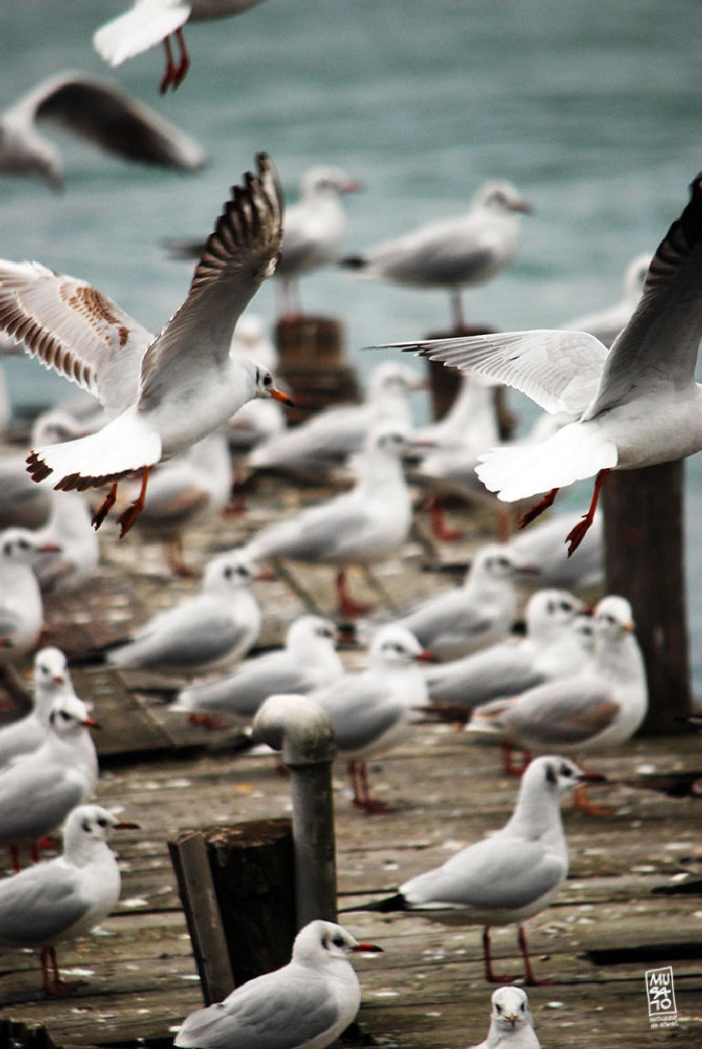 Seagulls by Musato