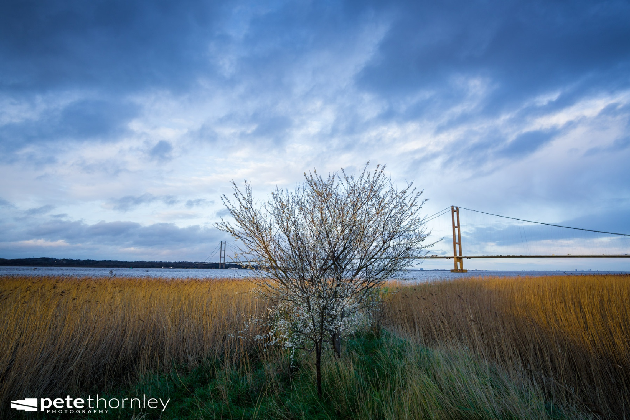 Humber Tree In Blossom by Pete Thornley