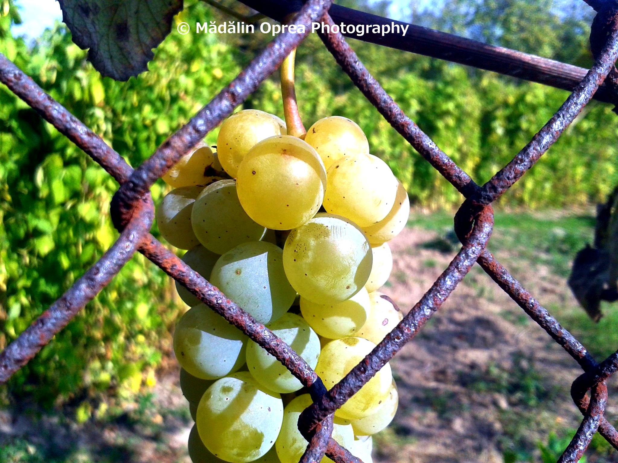 Grapes by Mădălin Oprea Photography