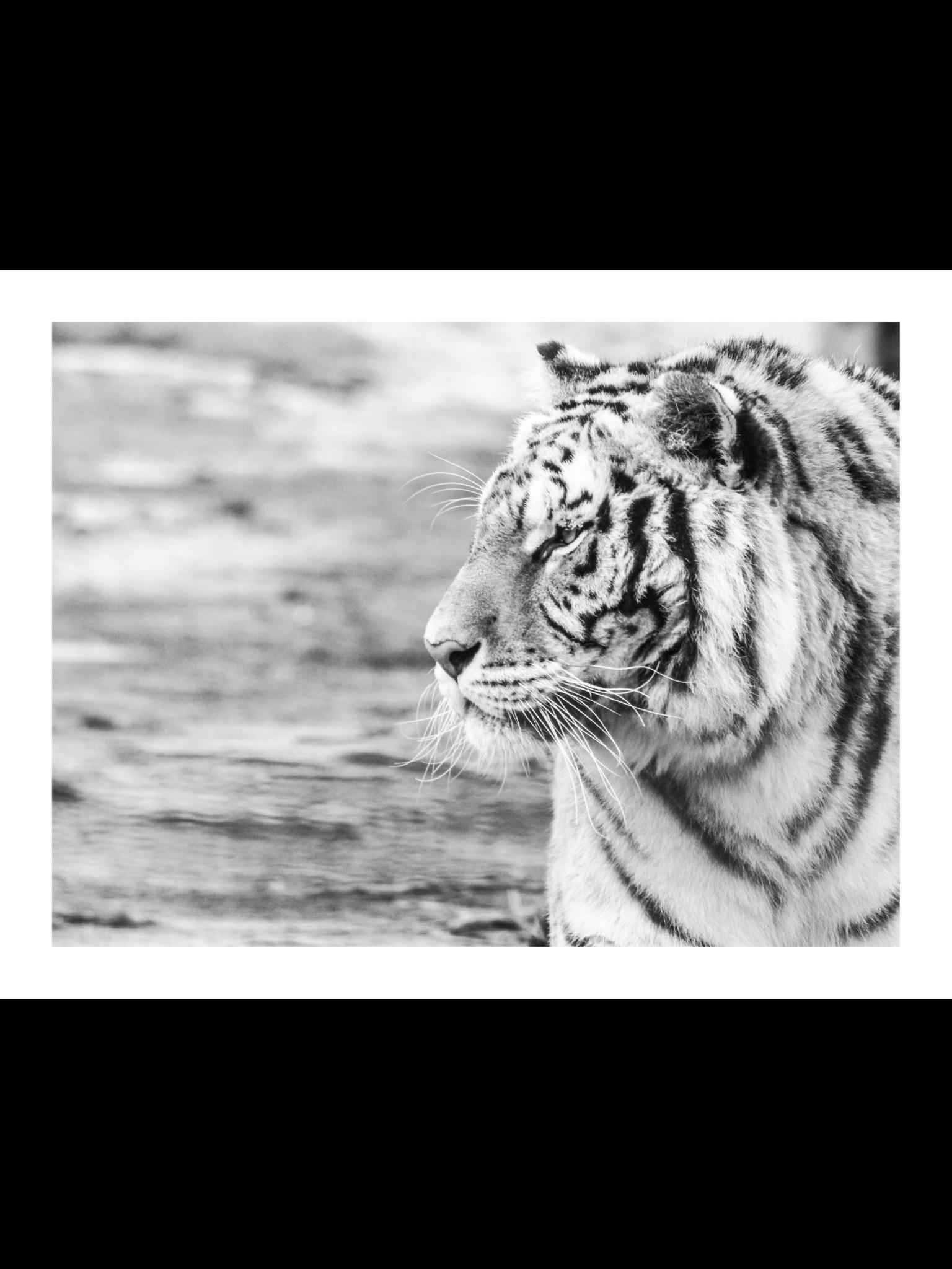 Tiger by Atrayoux
