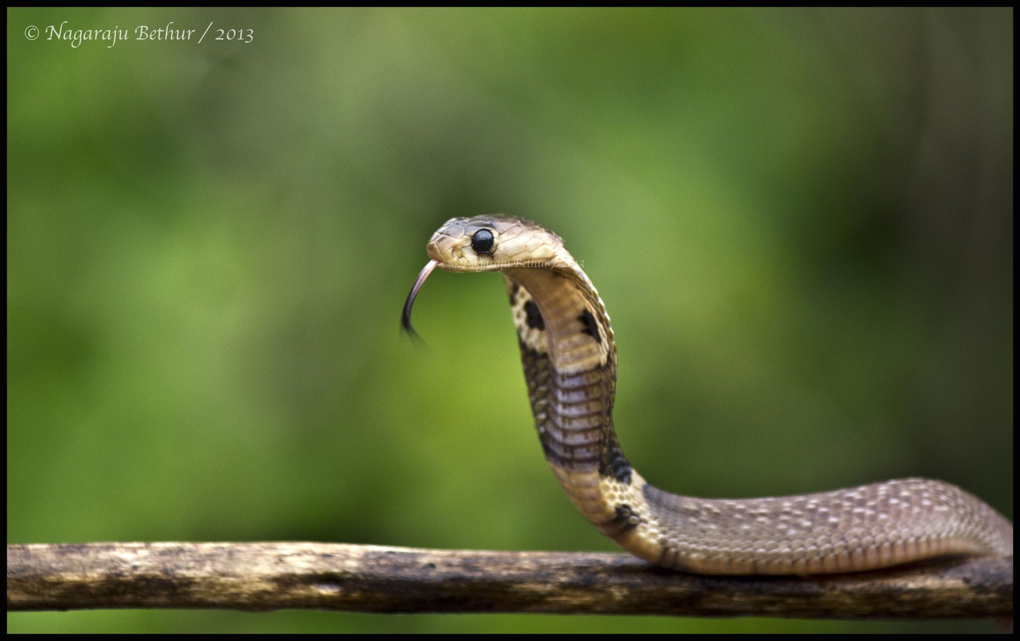 Spectacled cobra by nagaraju