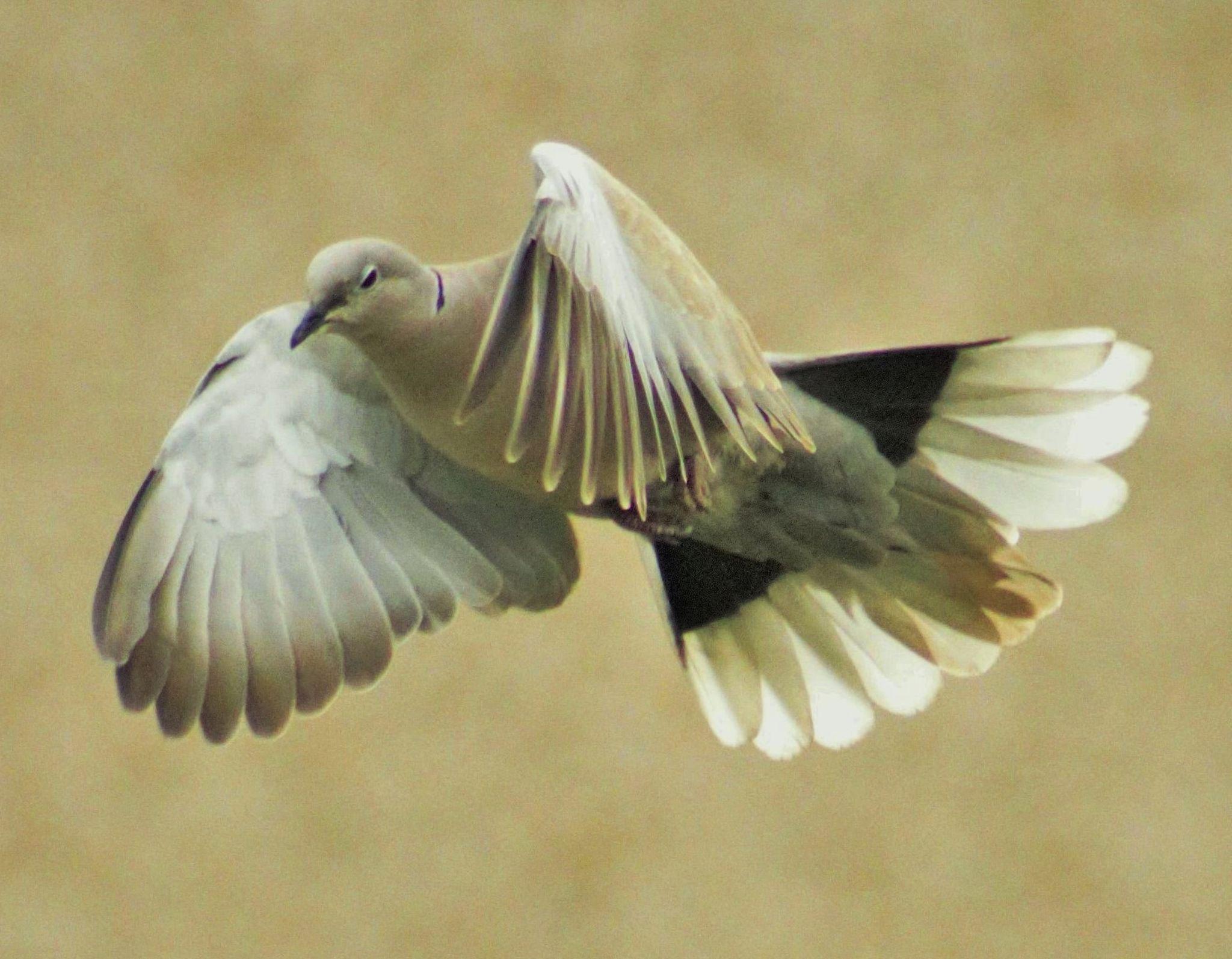 A Dove in flight. by sidoneill1
