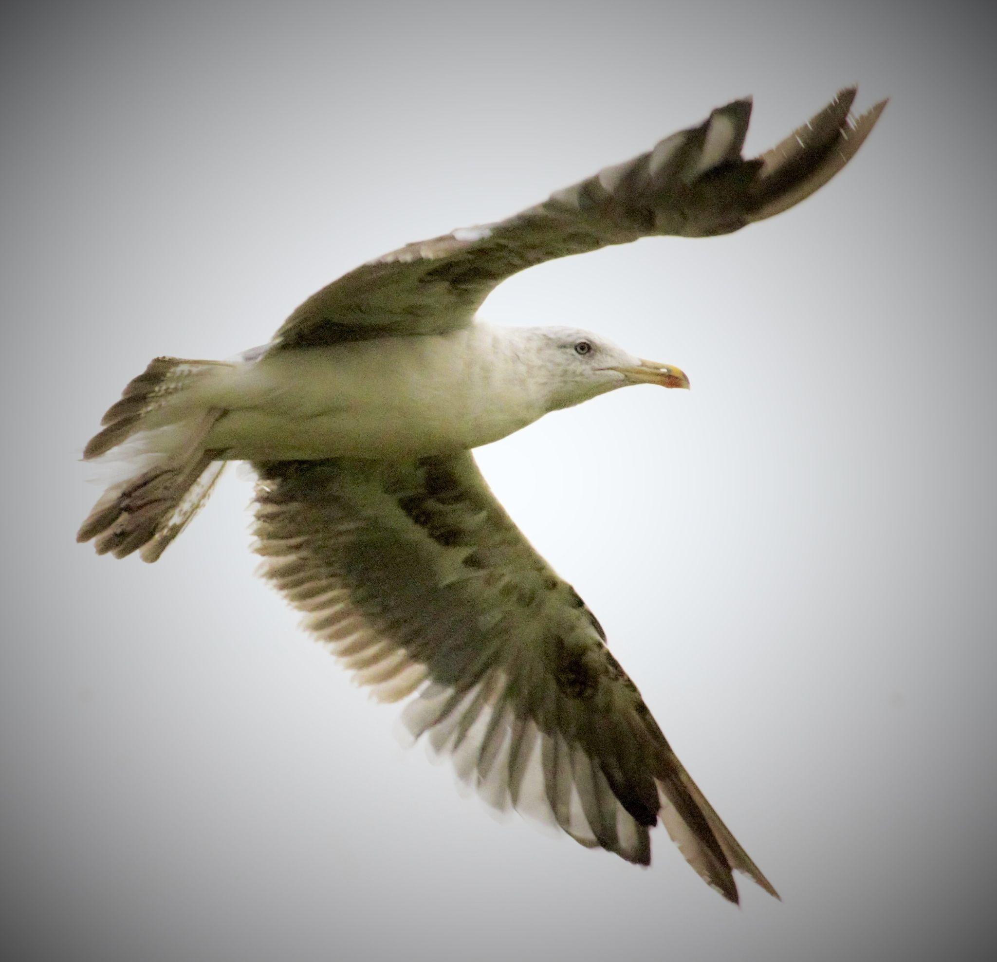Gull in flight. by sidoneill1