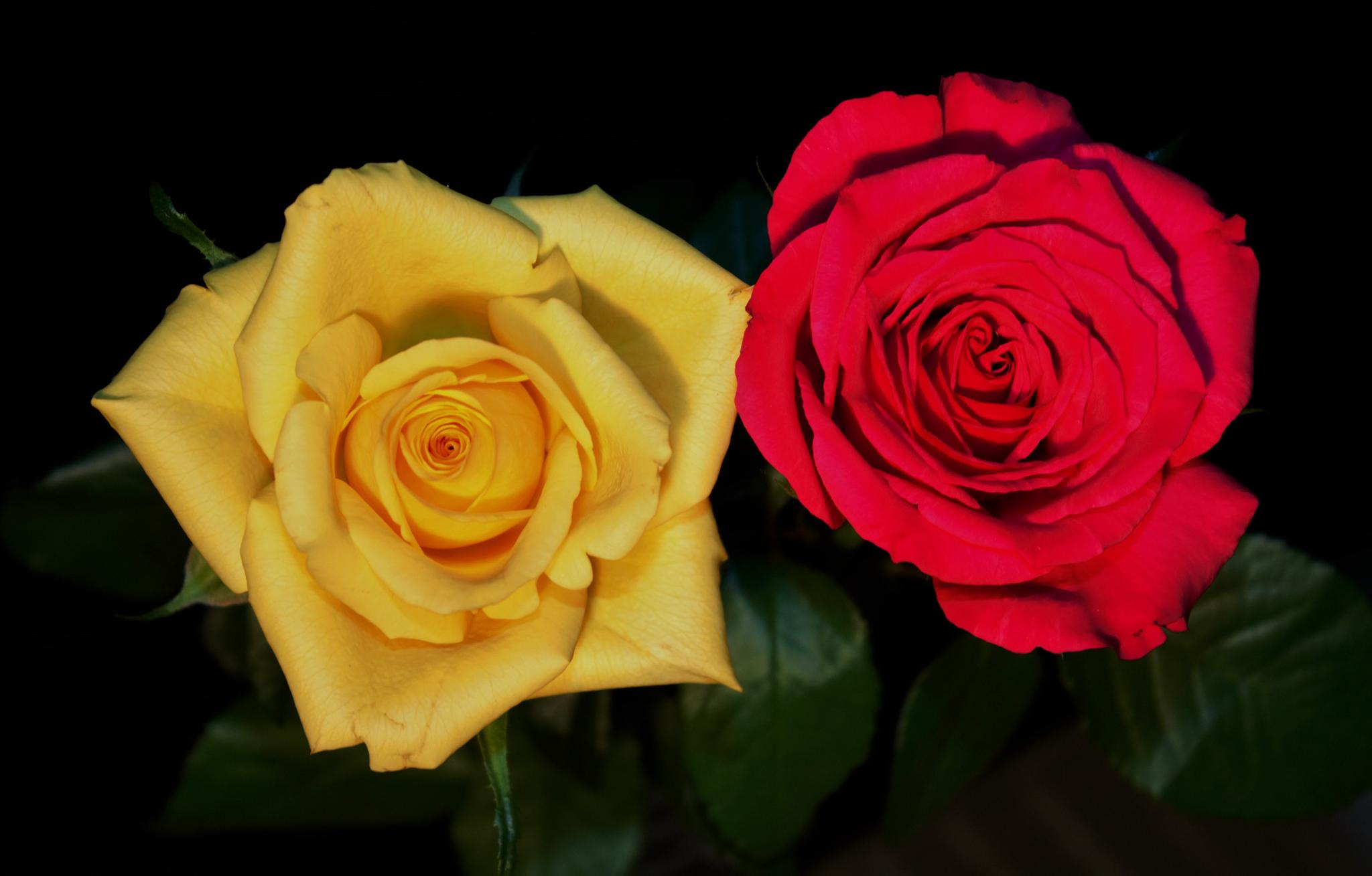 Yellow Rose red Rose. by sidoneill1