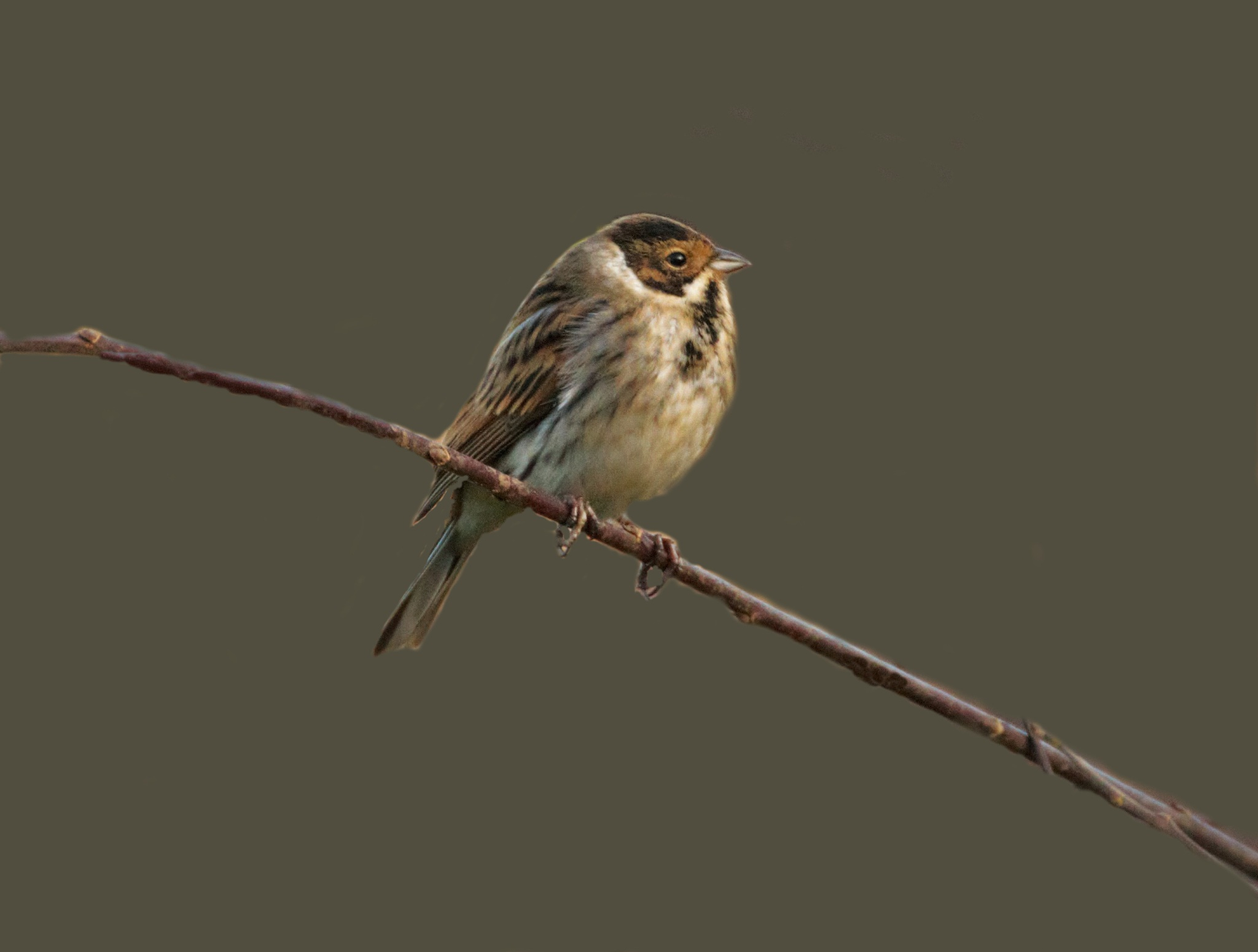 Female Reed Bunting. by sidoneill1
