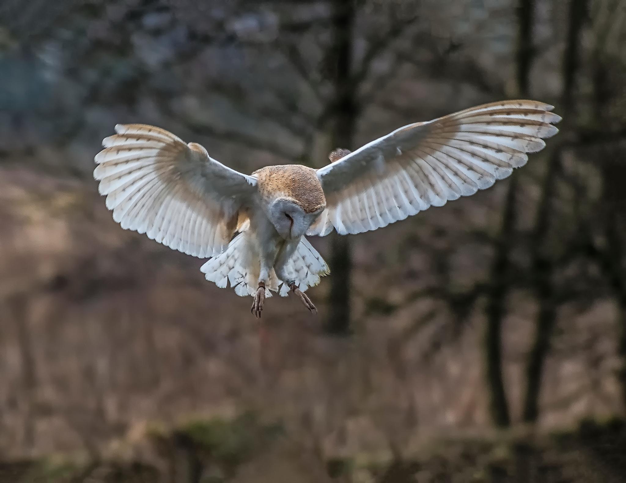 Barn Owl in flight. by sidoneill1
