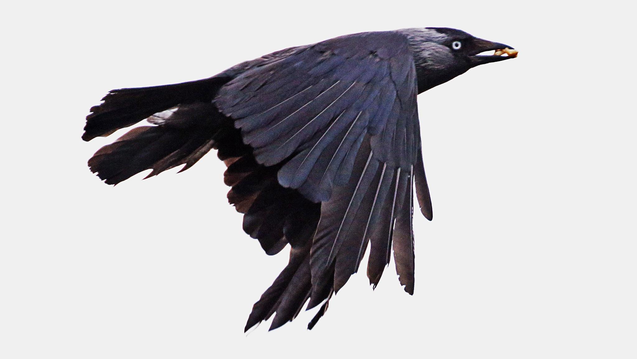 Jackdaw in flight. by sidoneill1
