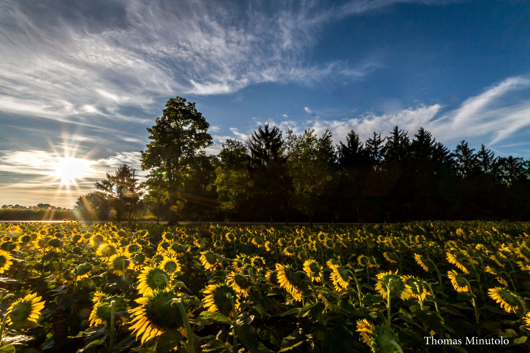 A Field Of Sunflowers Greeting The Morning Light Near Yellow Springs Ohio 9-14-2014 by tomminutolo