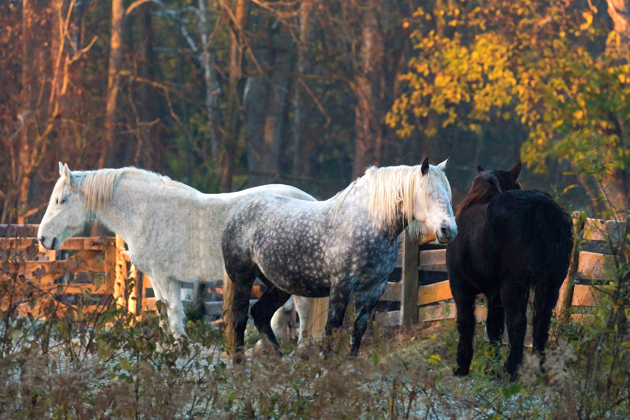 Horses Standing In The Morning Light At Carriage Hill Metropark Huber Heights Ohio 11-10-2016 by tomminutolo