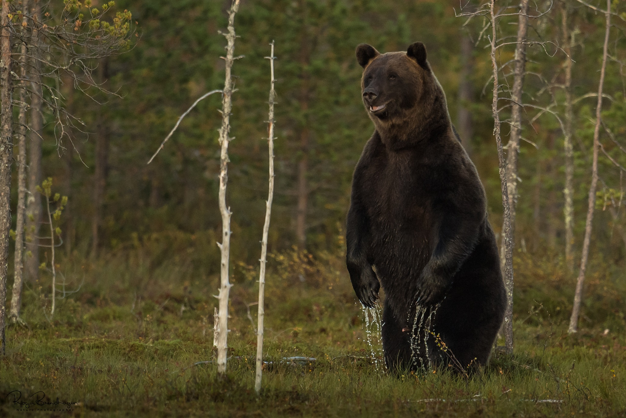 The Brown bear by Roger Brendhagen