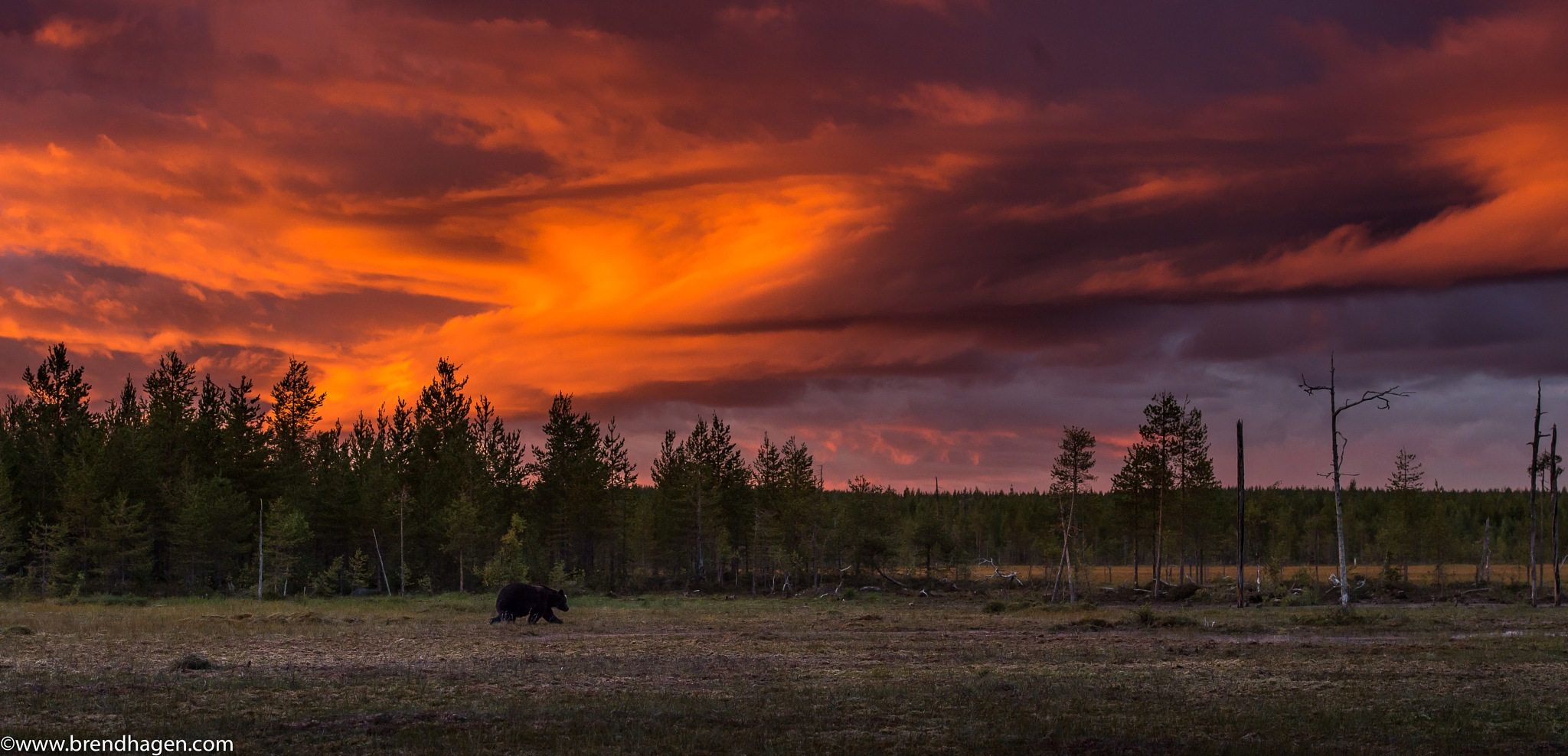 A Brown bear in the sunset by Roger Brendhagen