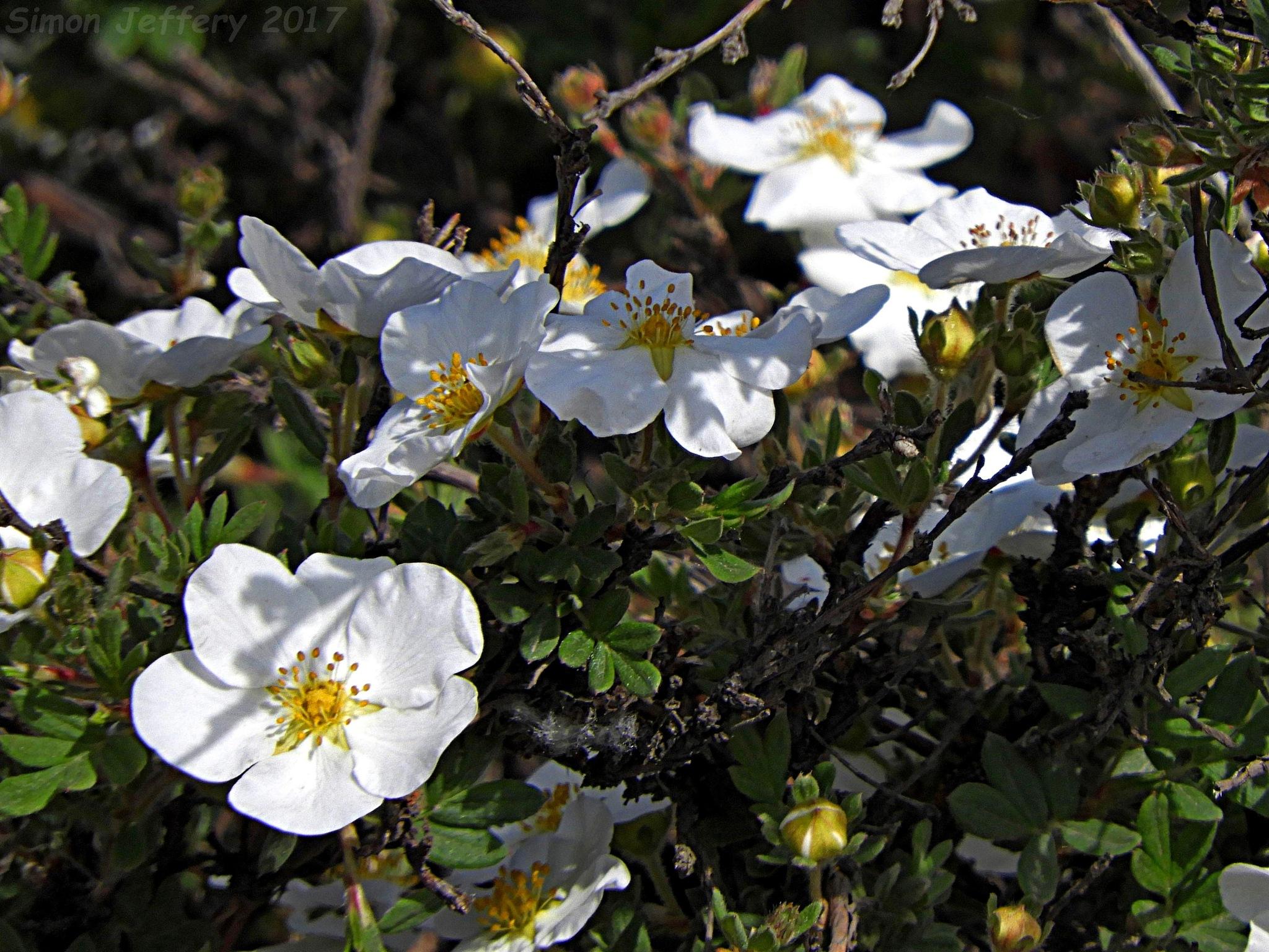 White flowers by Simon Jeffery