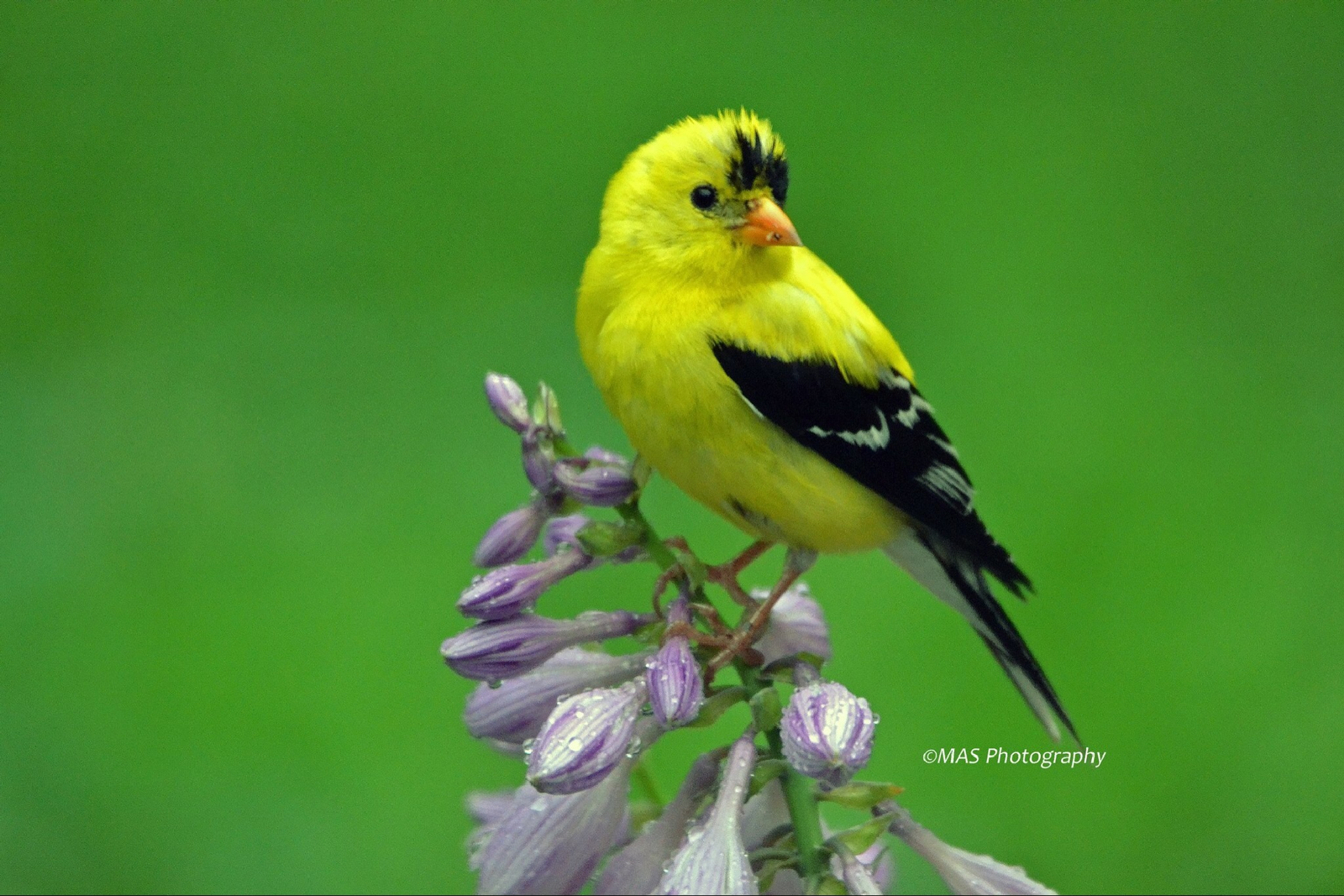 American Goldfinch by Mserrazina