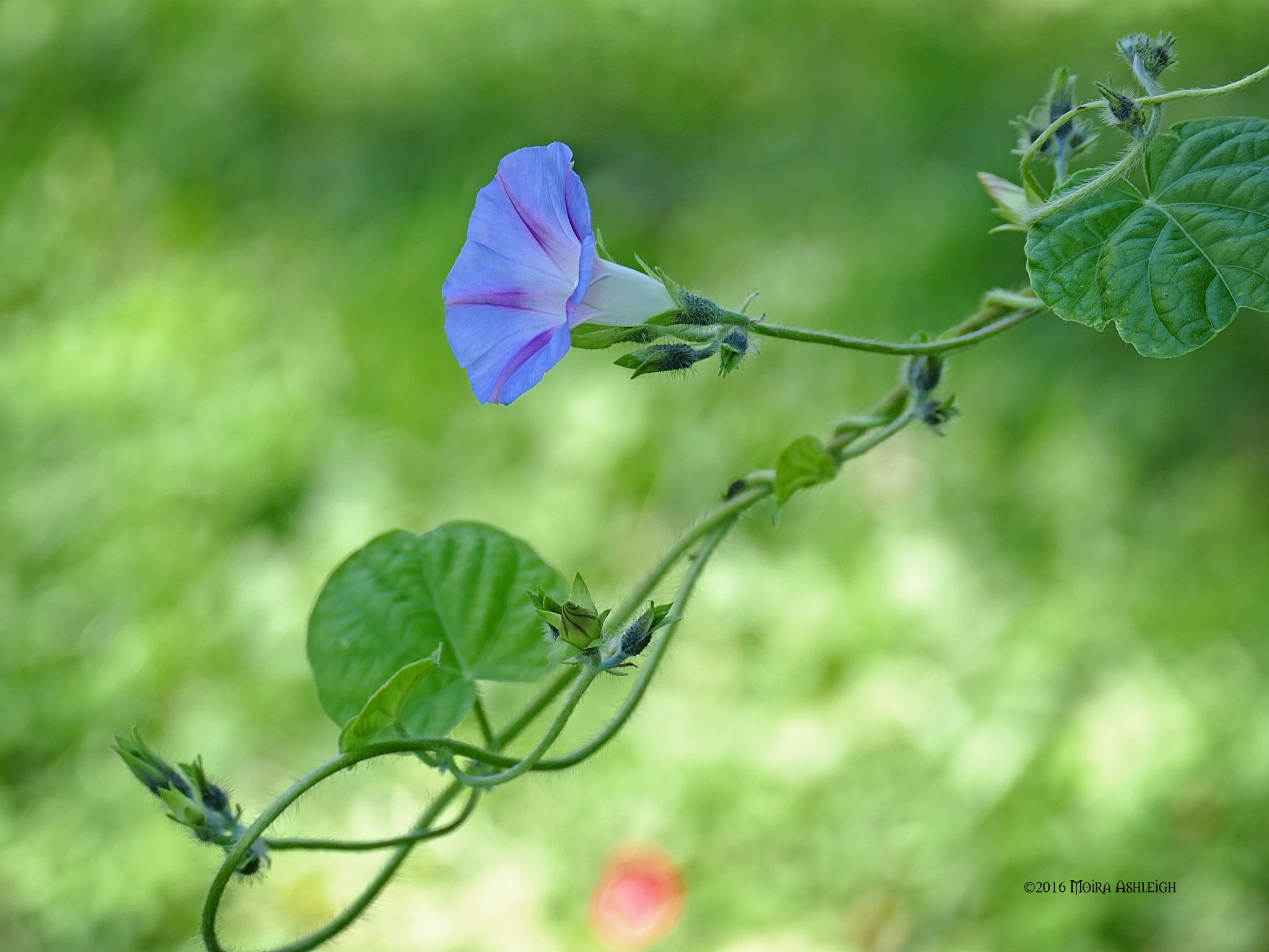 Morning Glory Vine by Moira Ashleigh