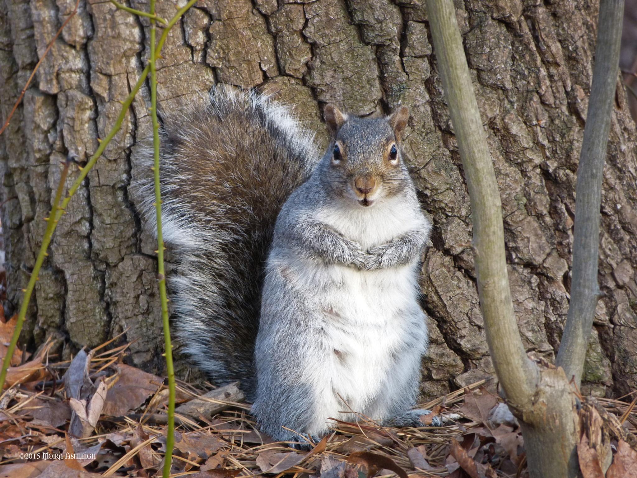 Eastern Grey Squirrel Early Spring by Moira Ashleigh
