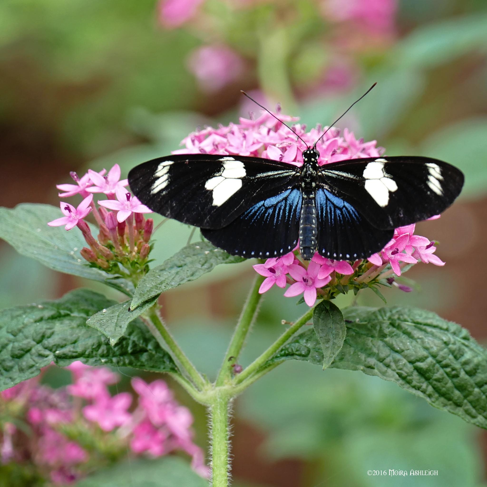 Doris Butterfly Feeding by Moira Ashleigh