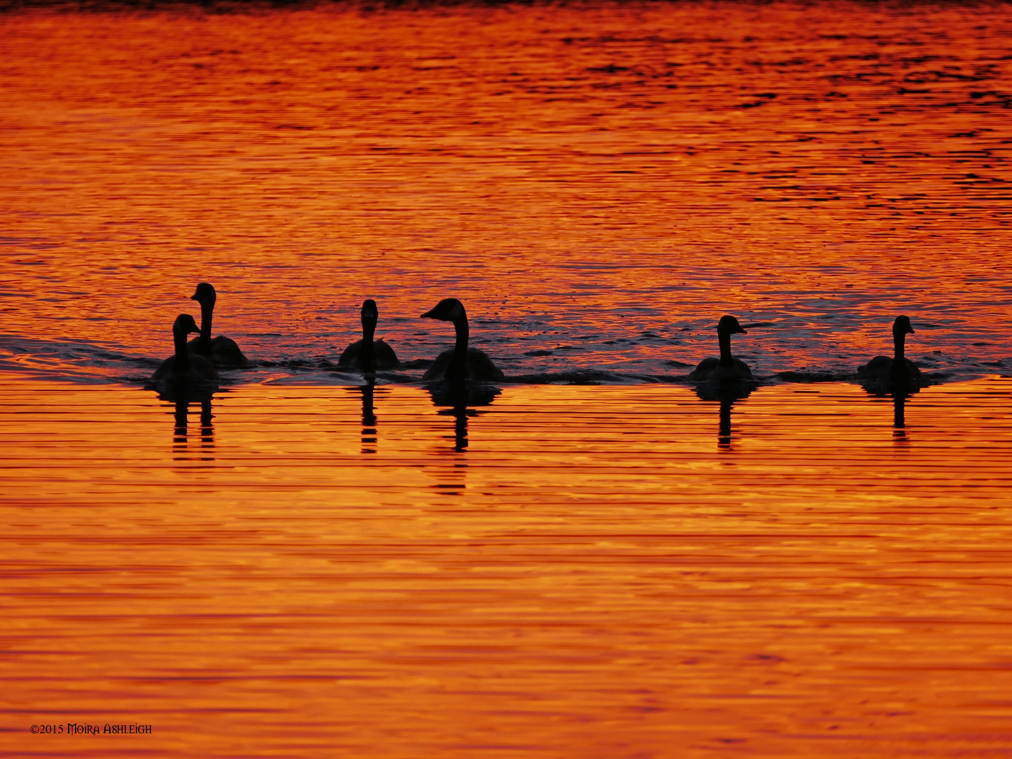 Geese in Sunset Waters by Moira Ashleigh