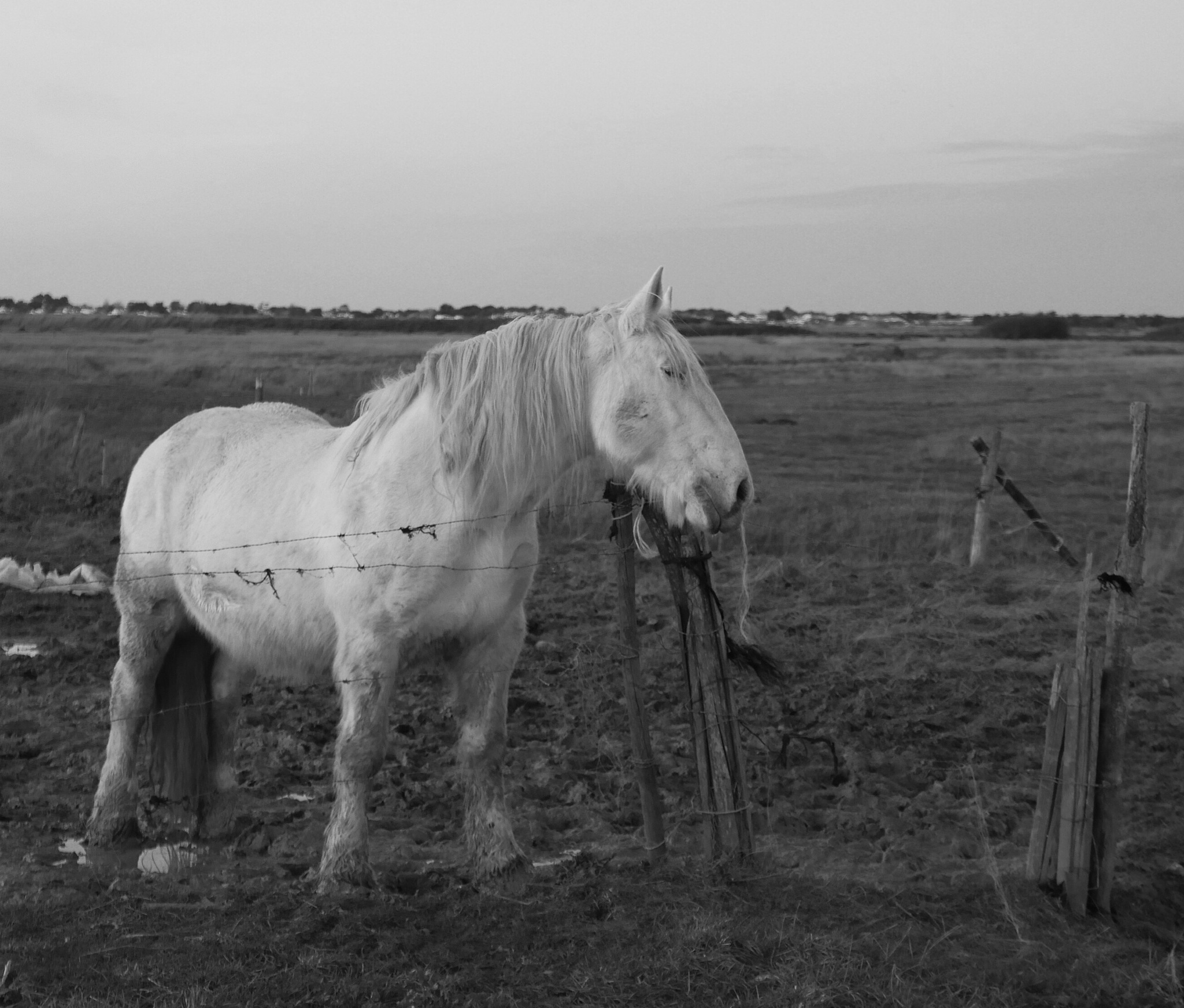 Horse on the marshes by lallemand