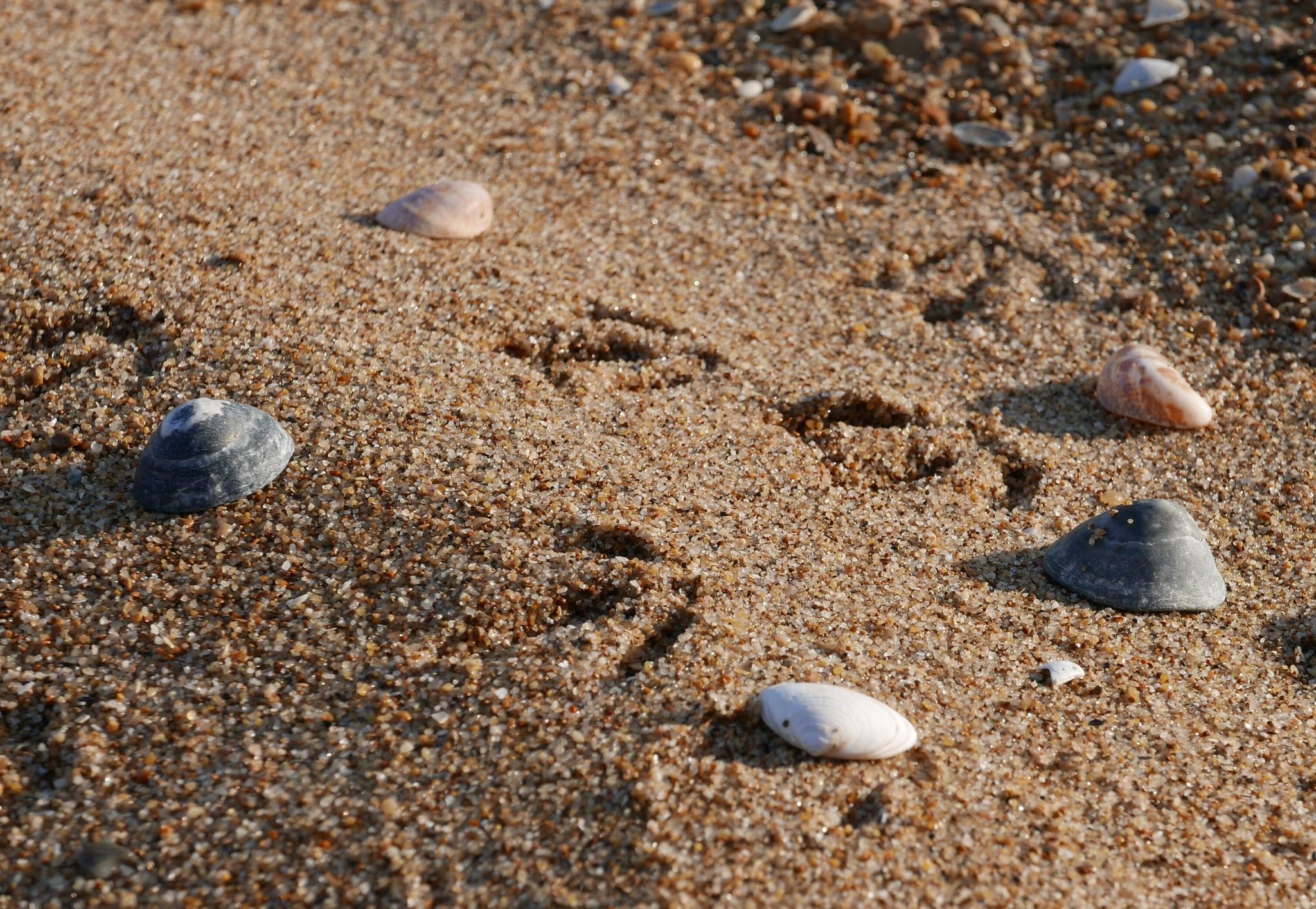 Shells and bird footprint  by lallemand