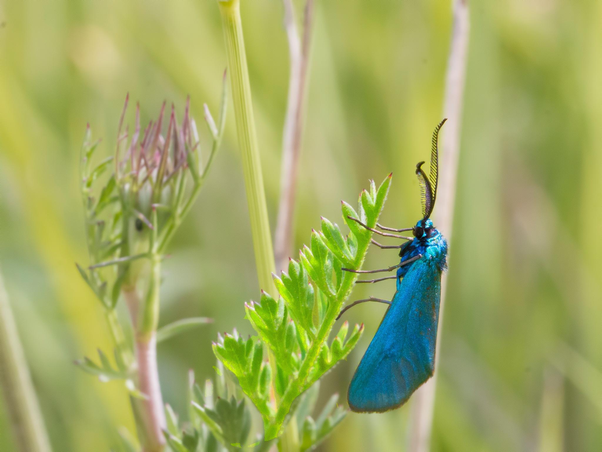 Zigena azul by Ernenek