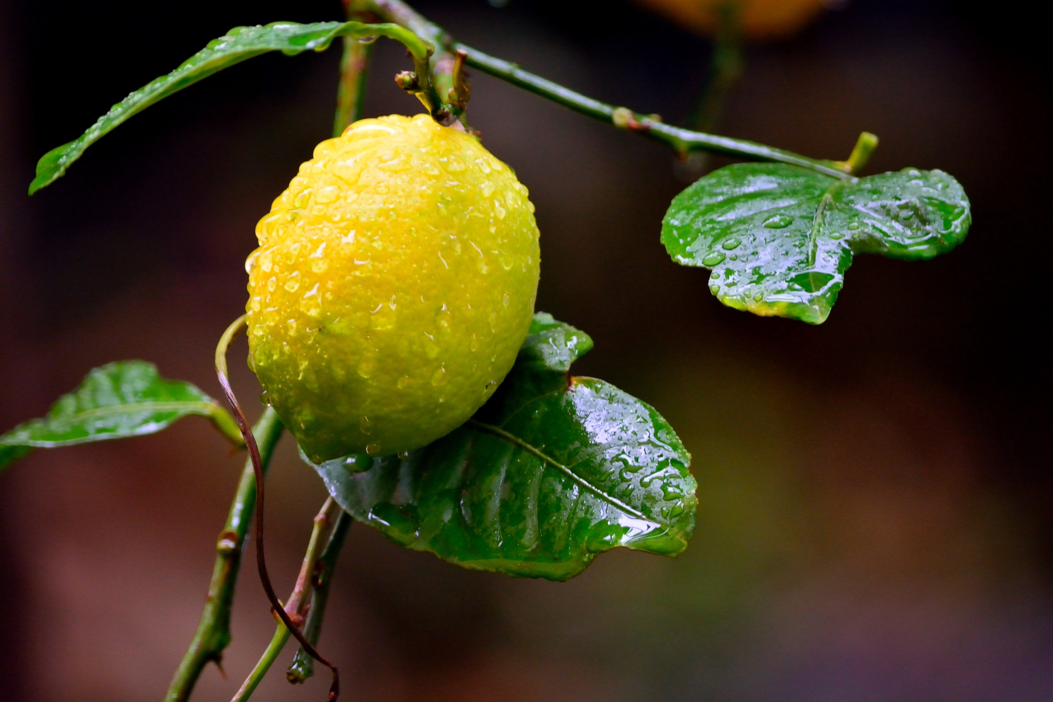 Sorrento lemon in the rain by InSight