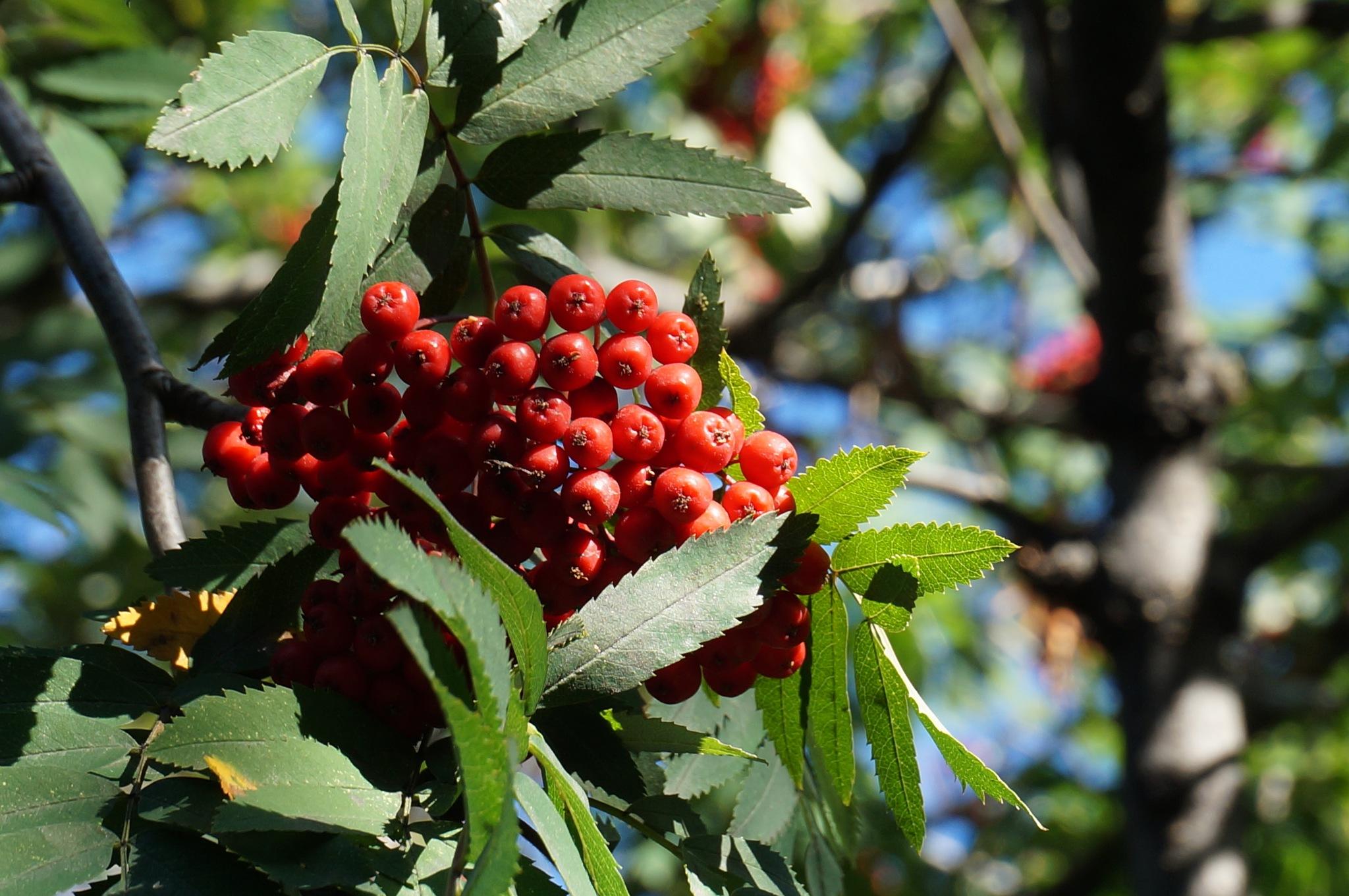 red berries  by Anastasia Zvereva