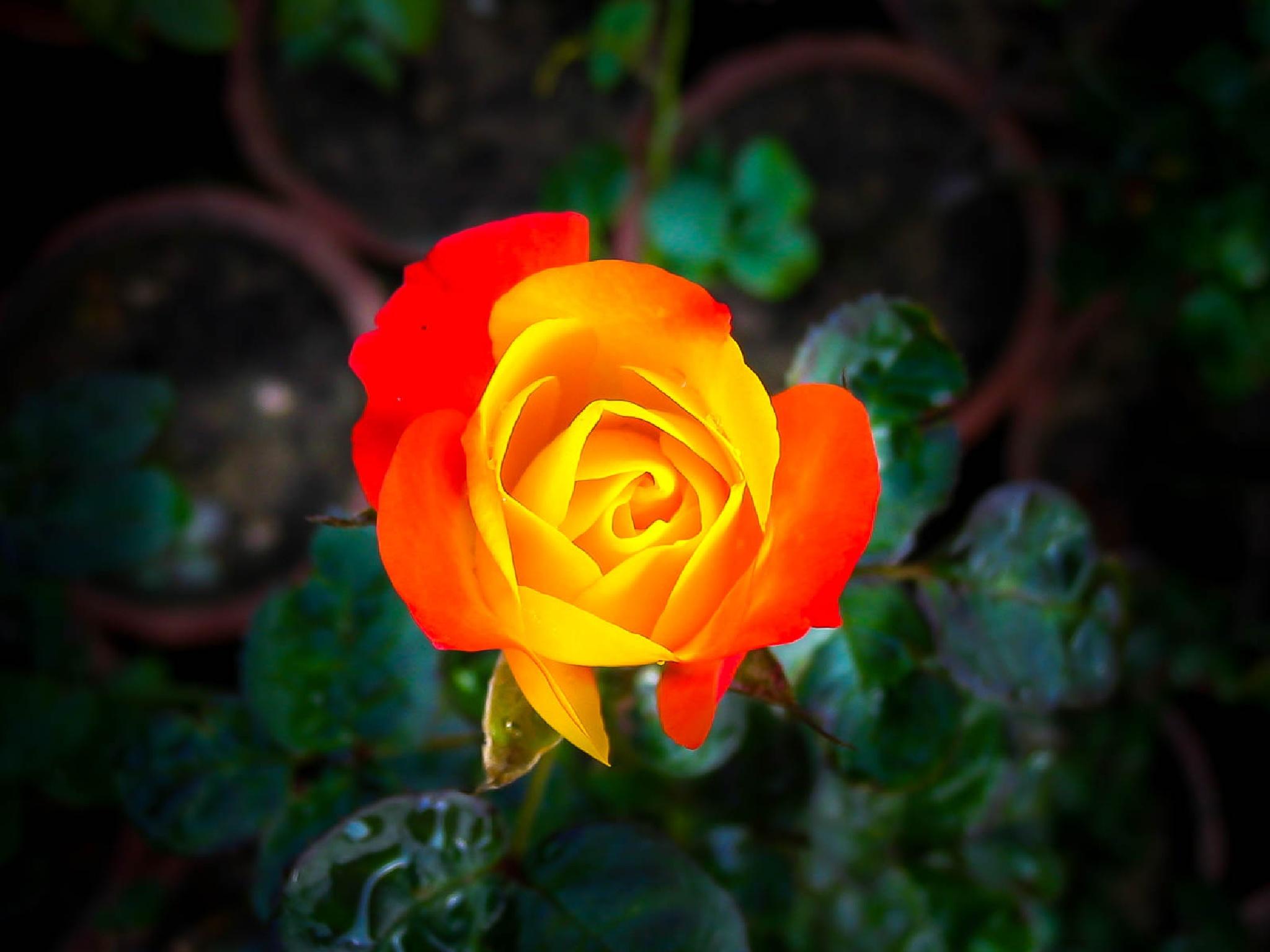 Rose by NaumanMughal