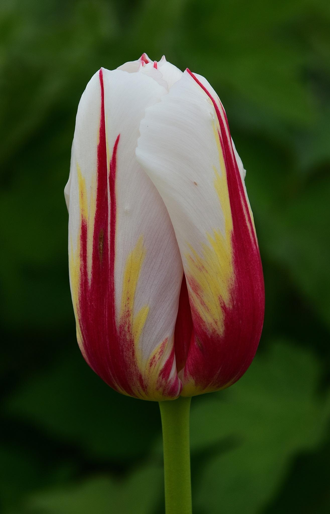Canadian 150 Tulip by NaumanMughal