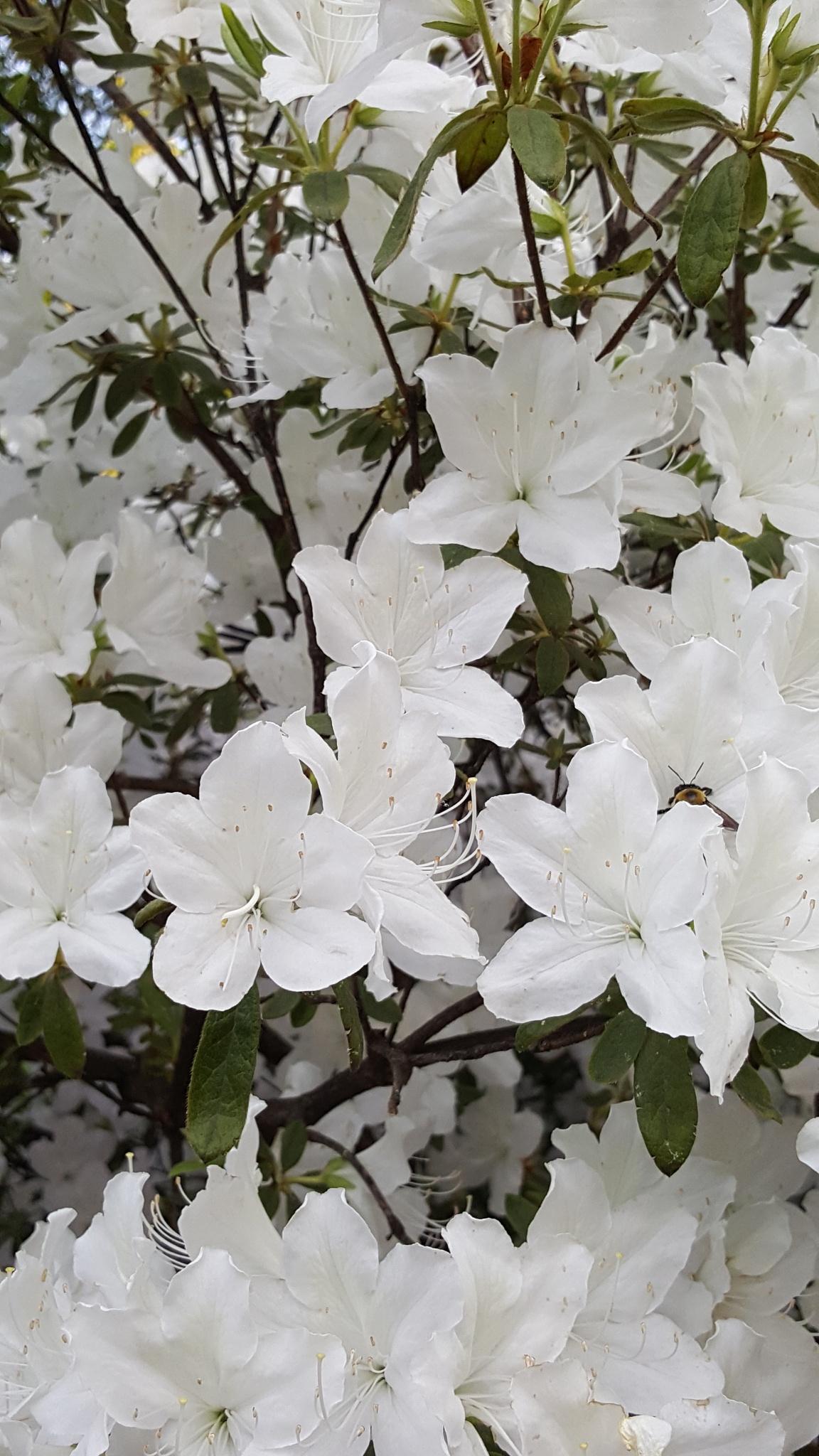 White flowers  by Roselene Dolce
