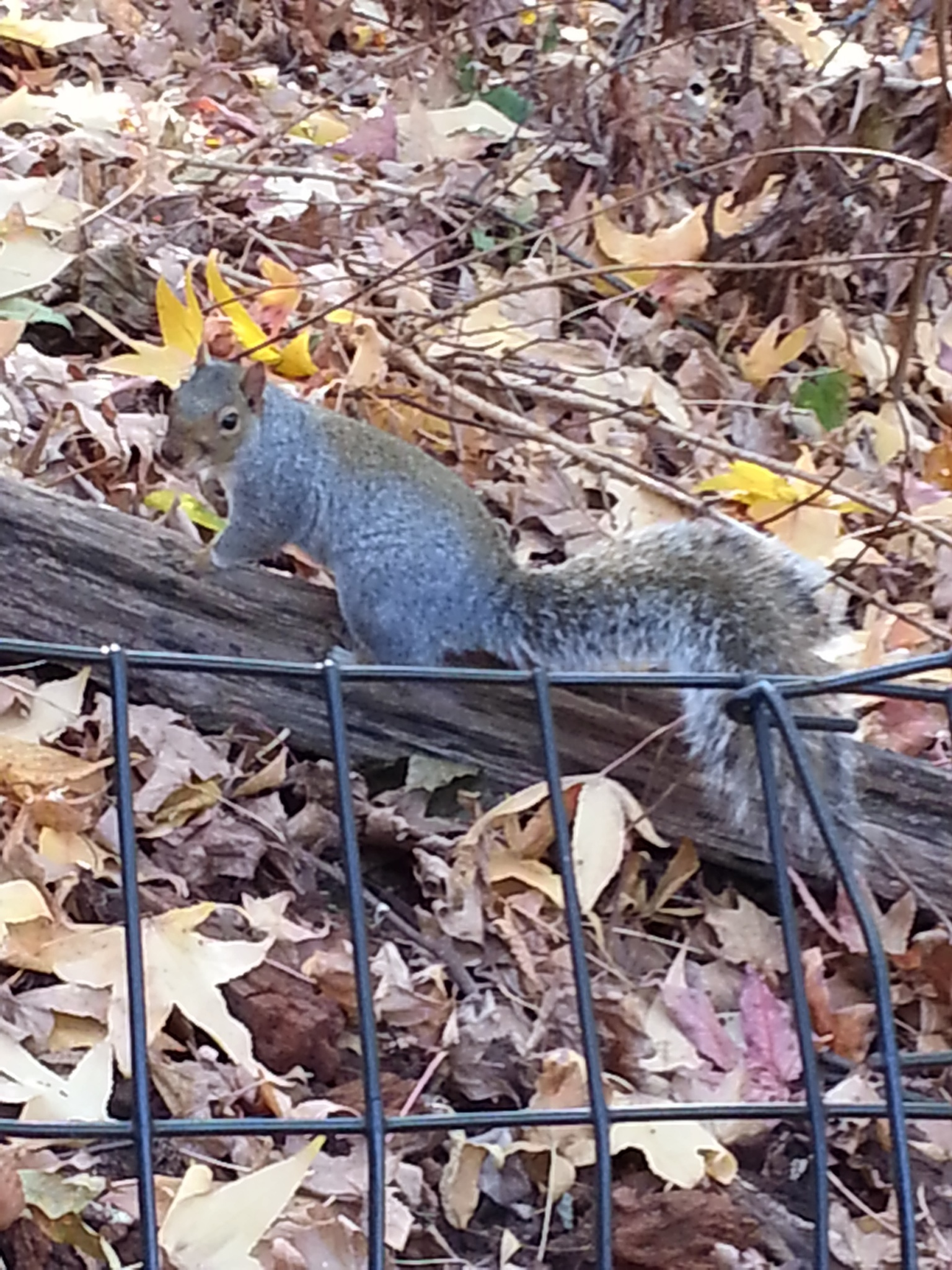 Squirrel in Central Park  by Roselene Dolce