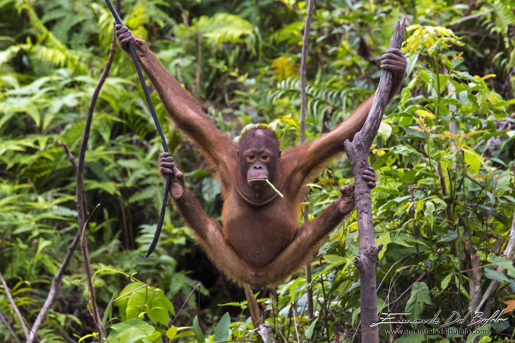The sad Orangutan by The Long Term Traveler