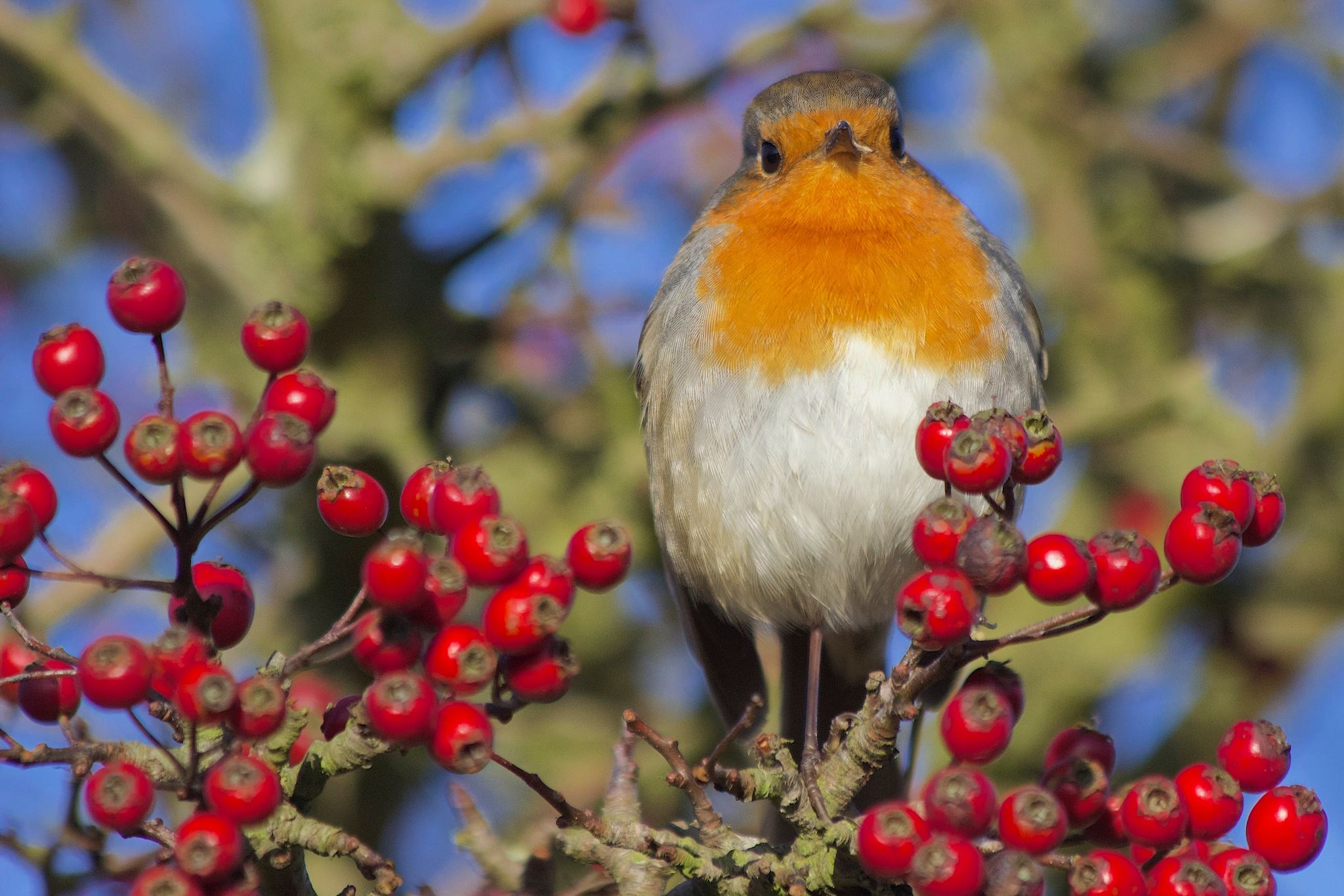 Christmas Robin by Richie Gowen
