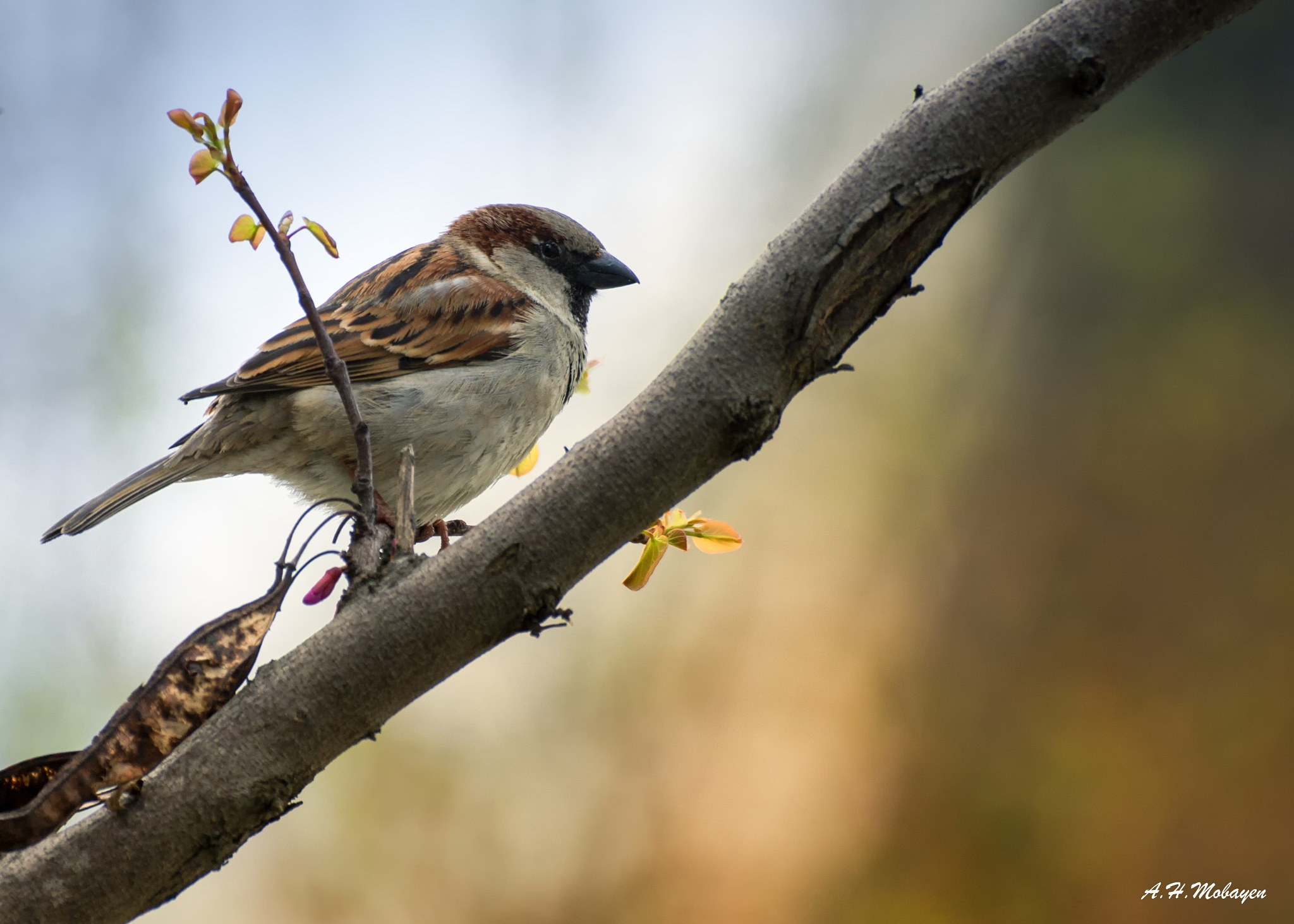 Old world Sparrow by ahmobayen