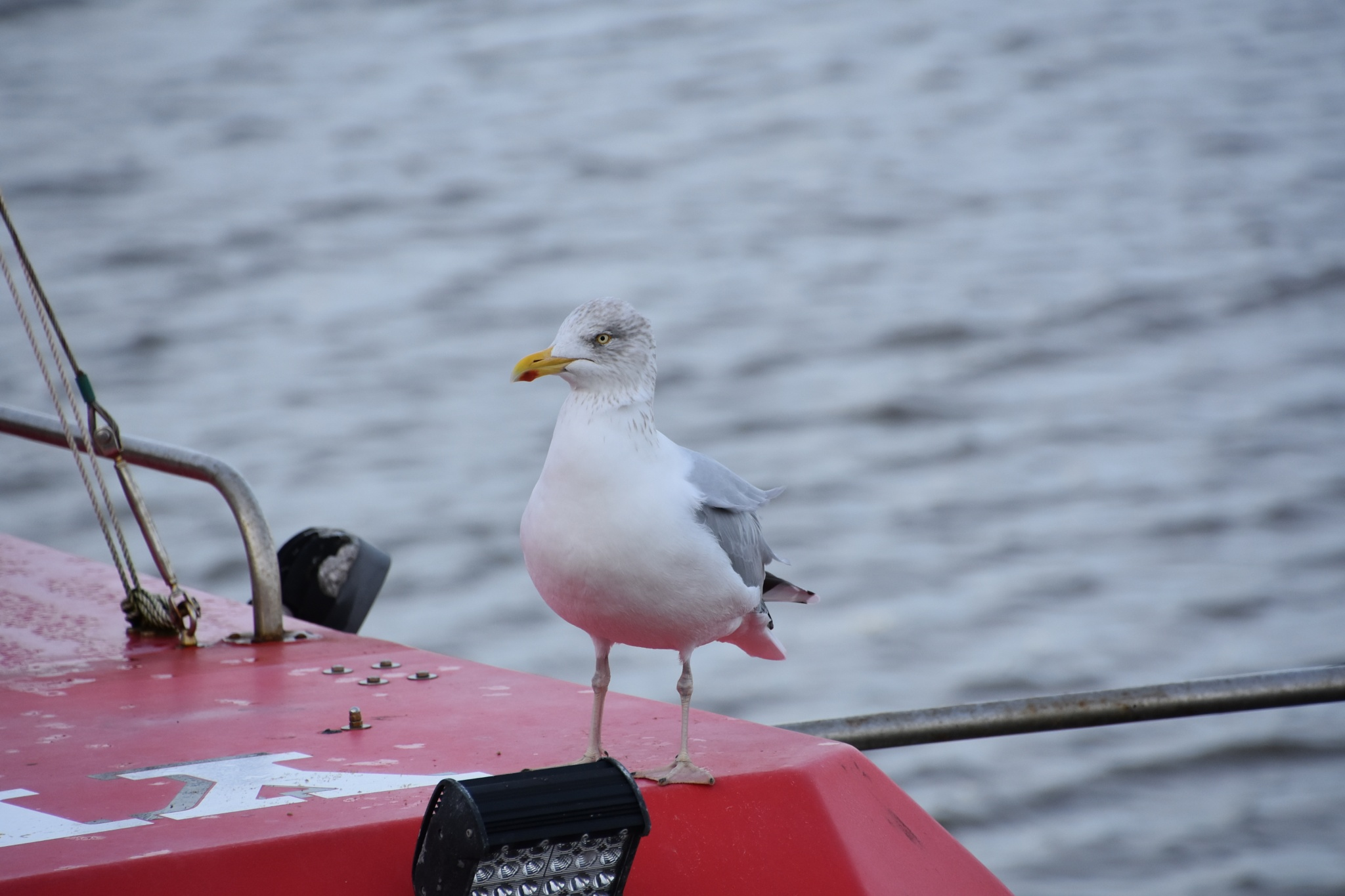 Great black-backed gull by Marisa