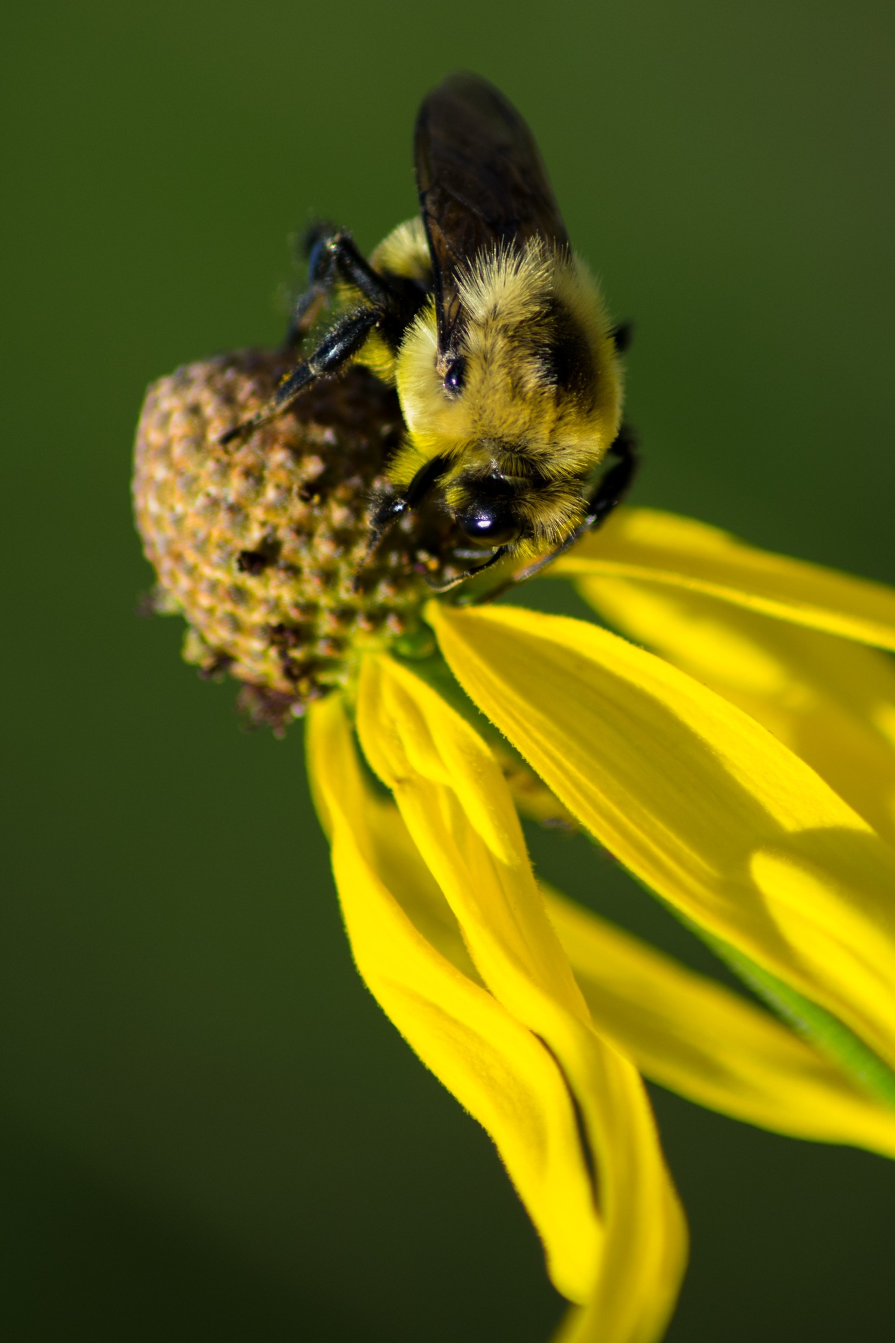 Bumblebee Fuzz by WesShealey
