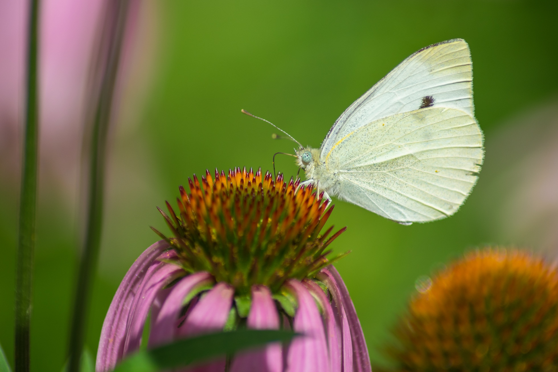 Cabbage White Butterfly by WesShealey