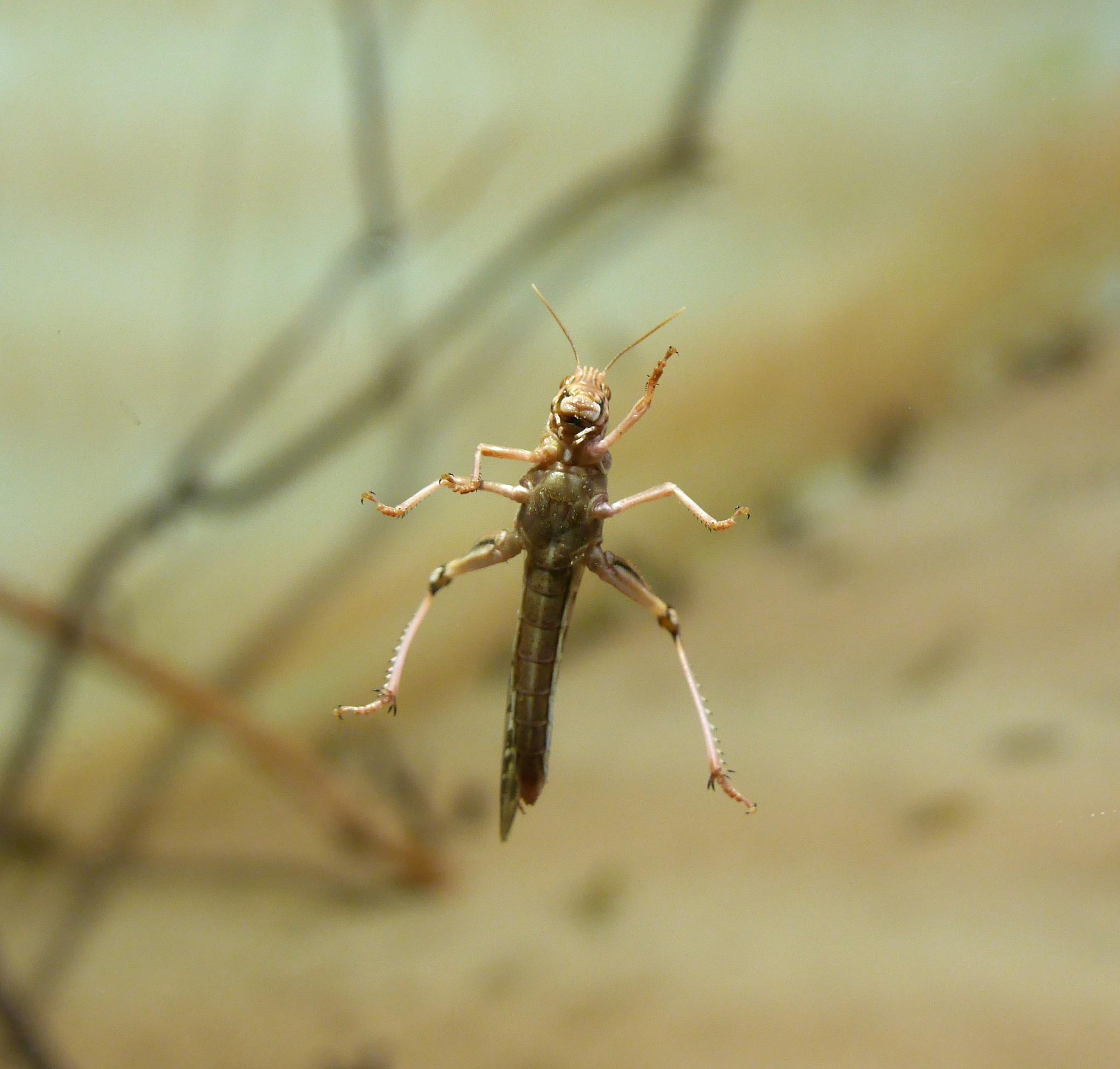 A locust by Seymour White